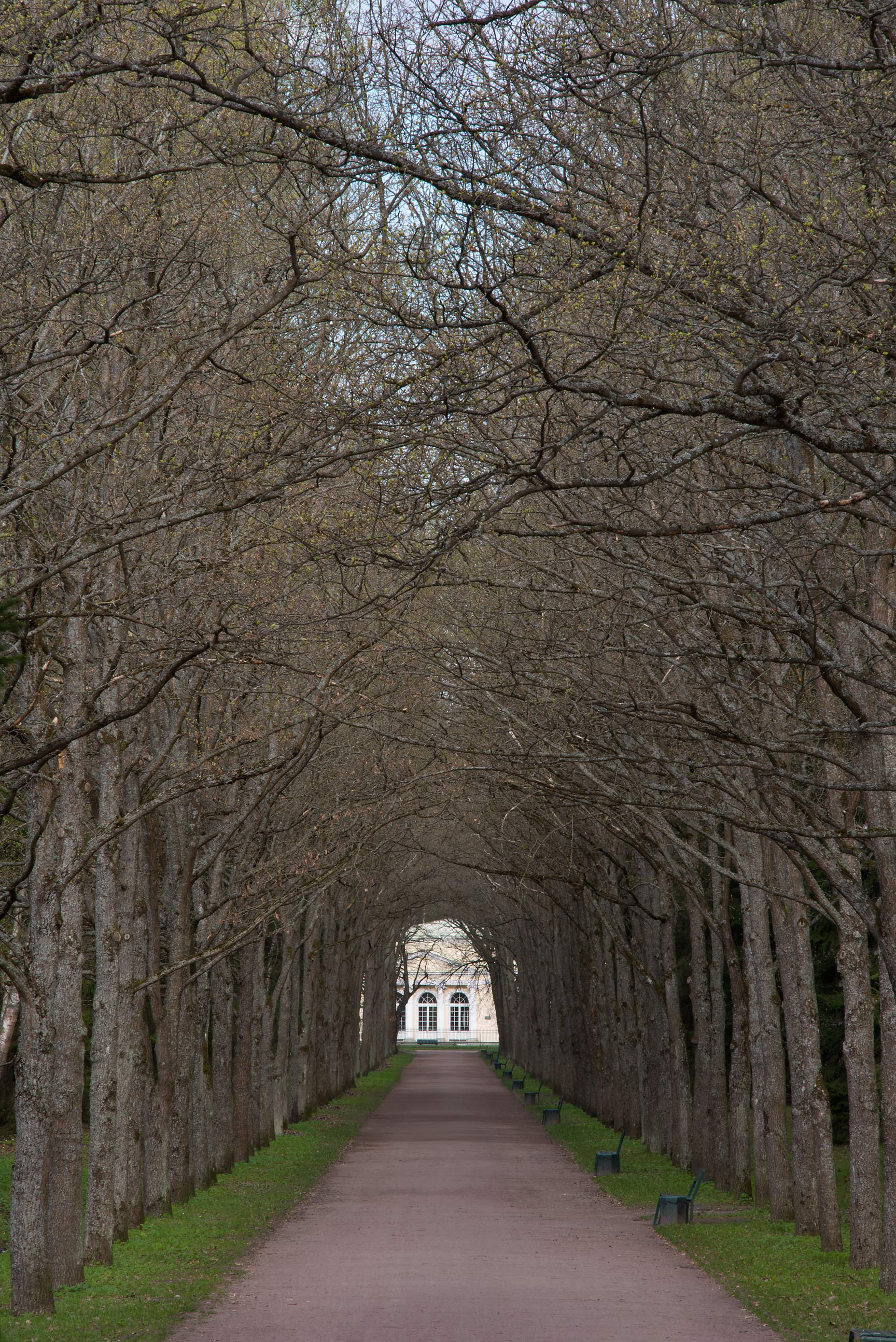 Trees of Green Woman Alley in Pavlovsk Park. Pavlovsk, suburb of St.Petersburg, Russia