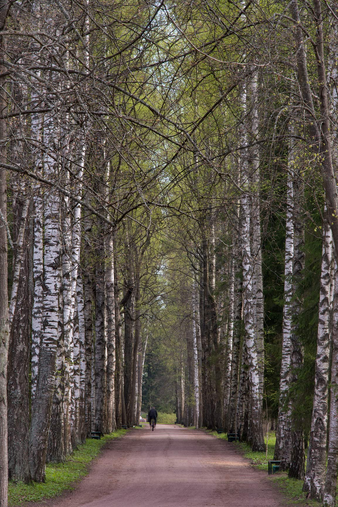 Birch trees of Mariyinskaya Alley in Pavlovsk...suburb of St.Petersburg, Russia