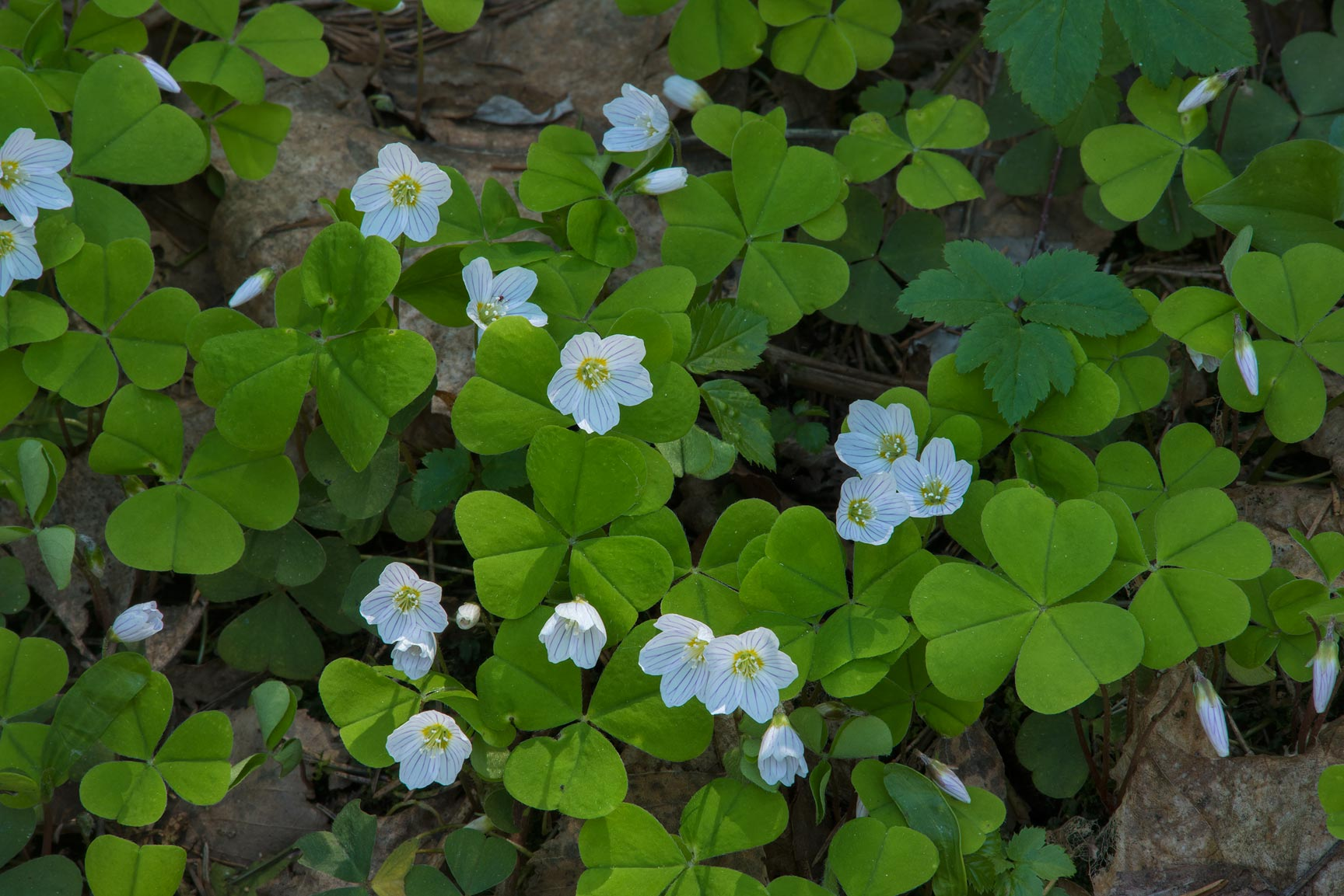 Blooming wood sorrel (Oxalis acetosella, Russian...suburb of St.Petersburg, Russia