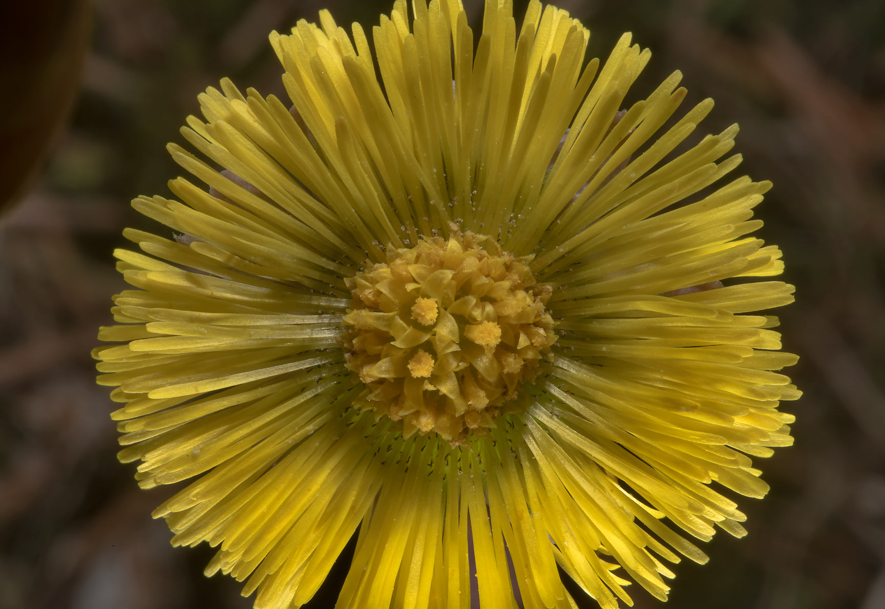 Yellow flower of coltsfoot (Tussilago farfara...north-west from St.Petersburg. Russia