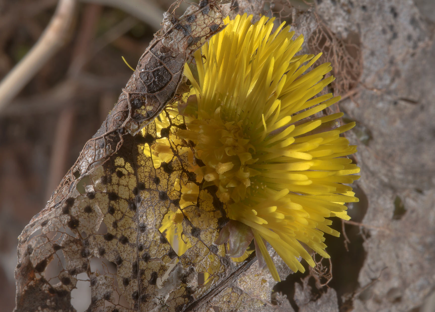 Spring flower of coltsfoot (Tussilago farfara...north-west from St.Petersburg. Russia