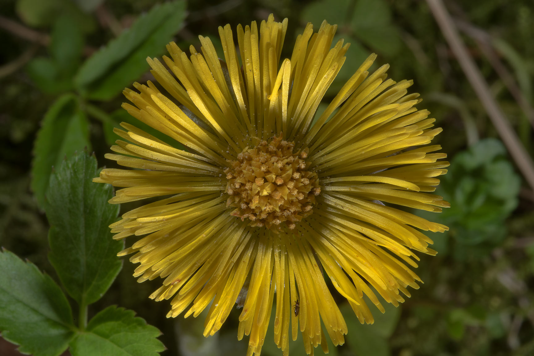 Flower of coltsfoot (Tussilago farfara, Russian...north-west from St.Petersburg. Russia