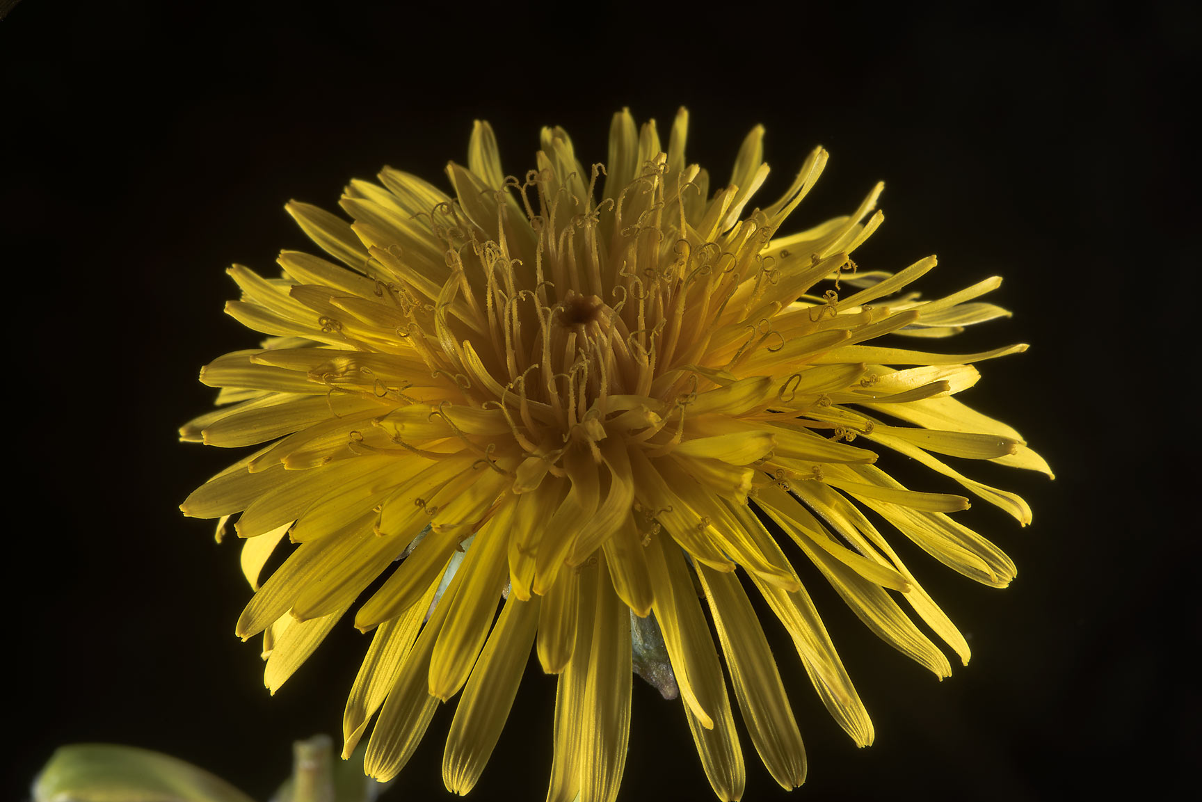 Common dandelion (Taraxacum officinale, Russian...north-west from St.Petersburg. Russia