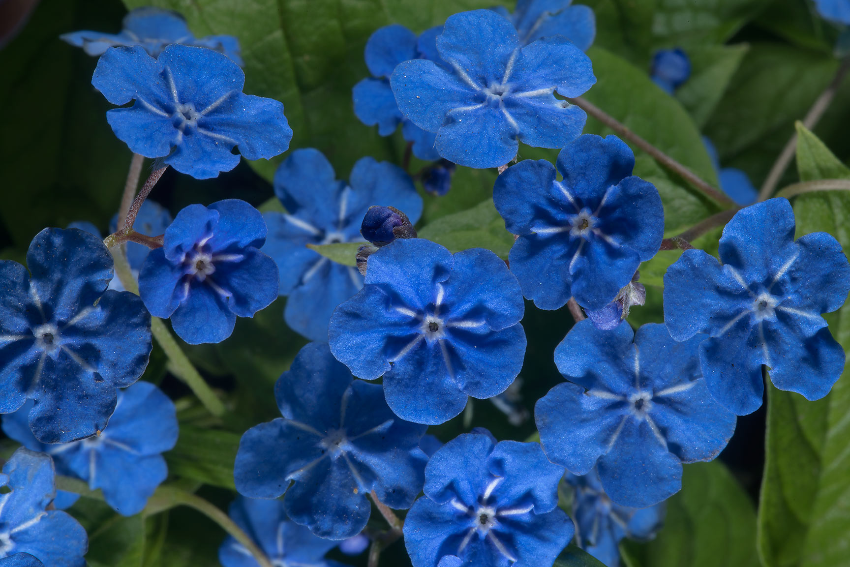 Blue flowers of creeping navelwort (Omphalodes...Institute. St.Petersburg, Russia