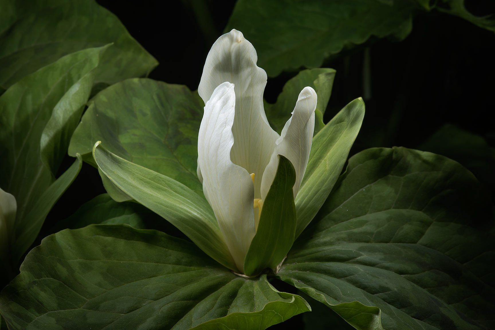 Wake-robin (Toadshade, Trillium sessile Snow...Institute. St.Petersburg, Russia