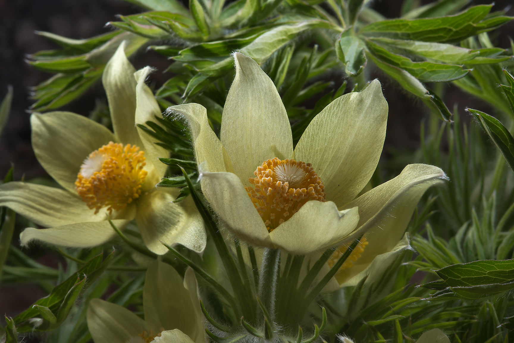 Close up of yellow eastern pasque flower...Institute. St.Petersburg, Russia
