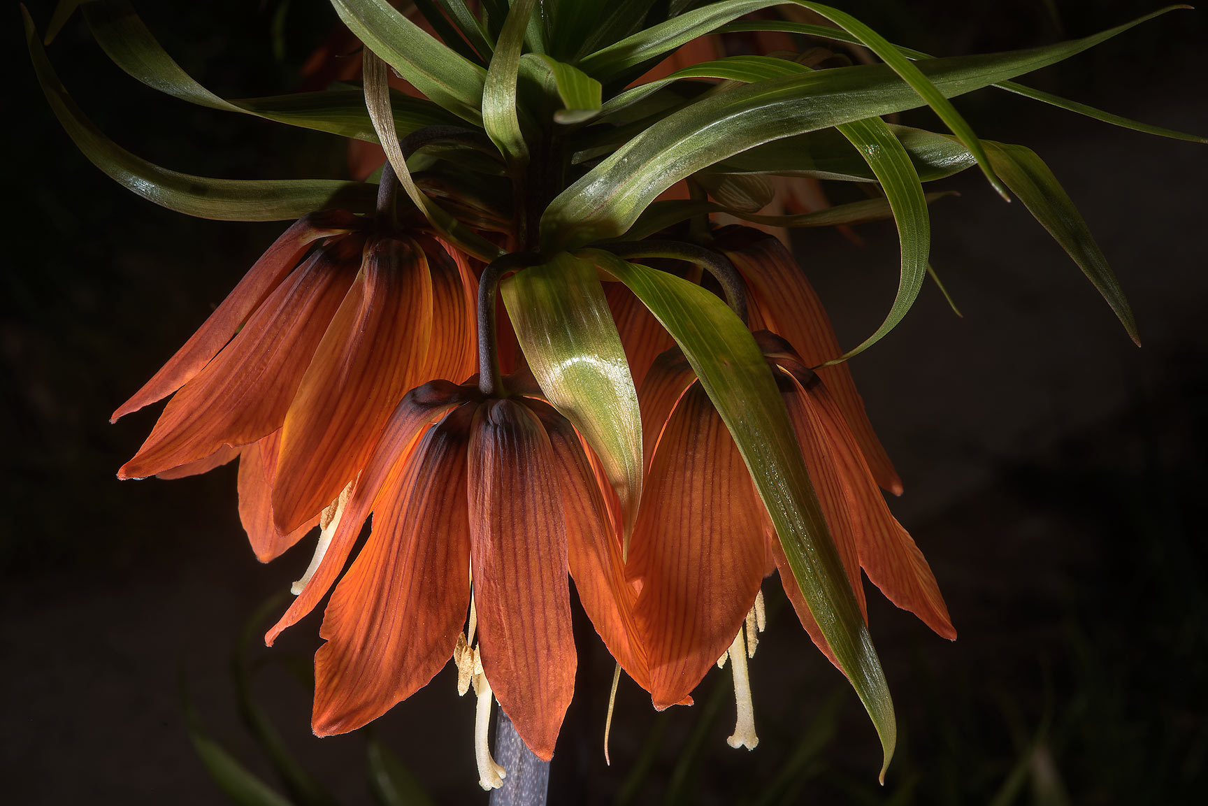 Kaiser's crown flowers (Fritillaria imperialis...Institute. St.Petersburg, Russia