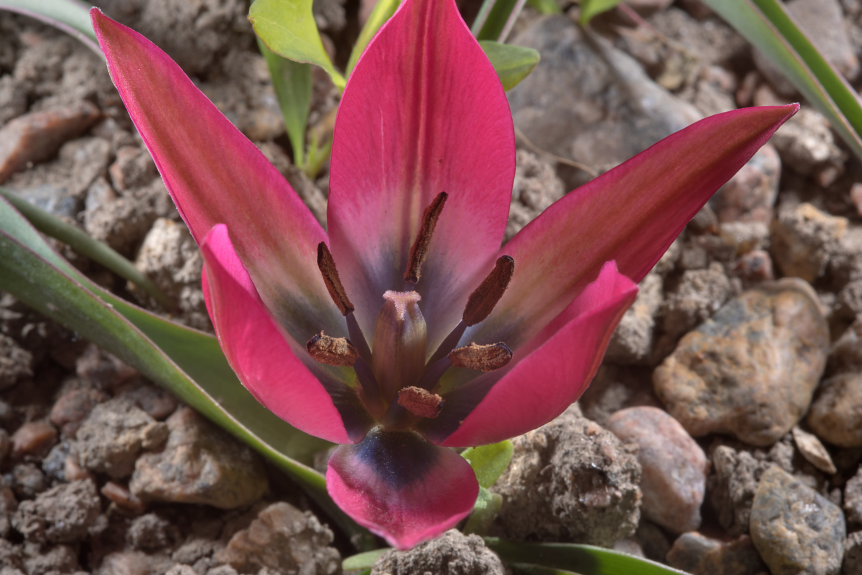 Pink flower of Tulipa hageri 'Little Beauty' in...Institute. St.Petersburg, Russia