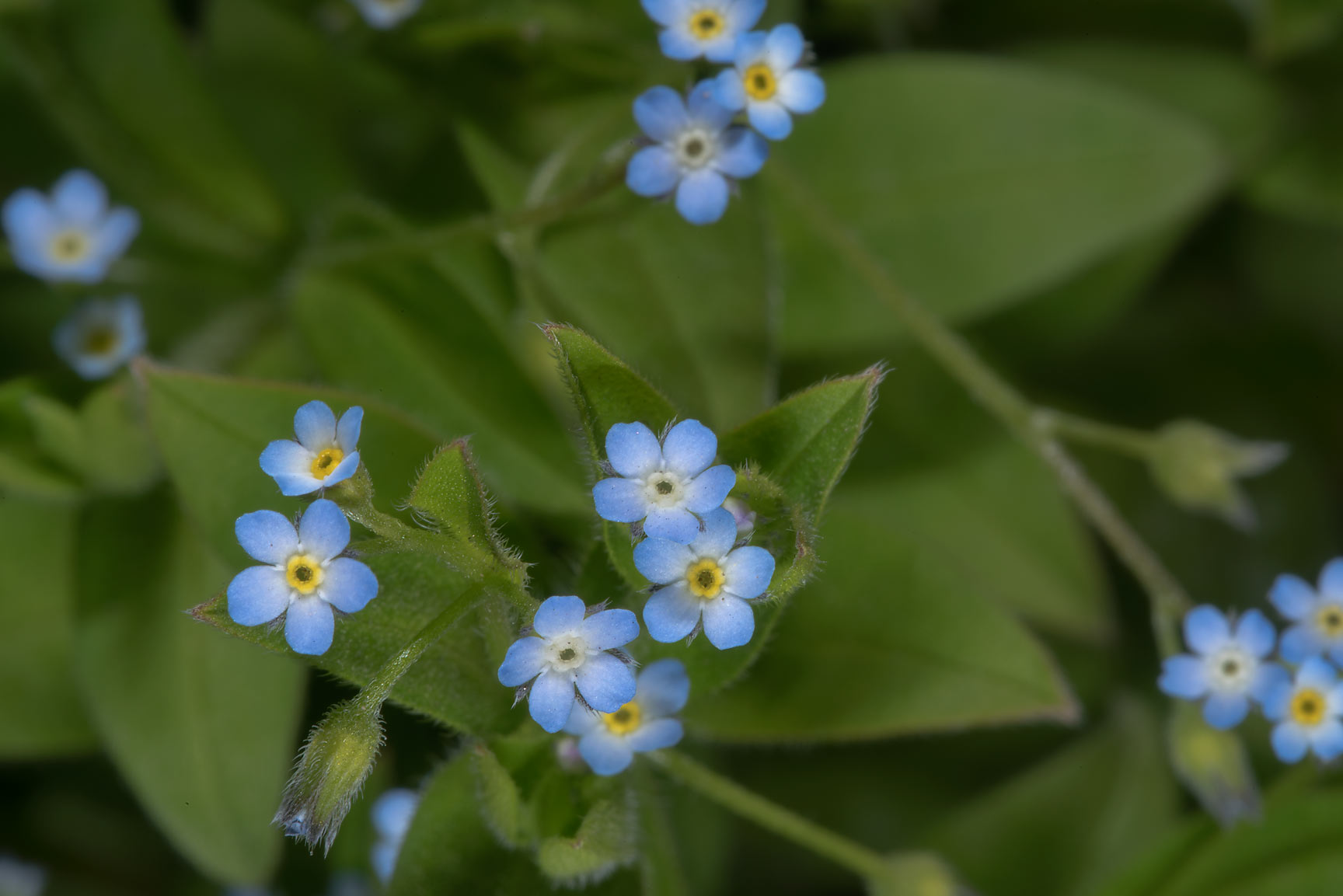 Small blue flowers of forget-me-not (Myosotis) in...Institute. St.Petersburg, Russia