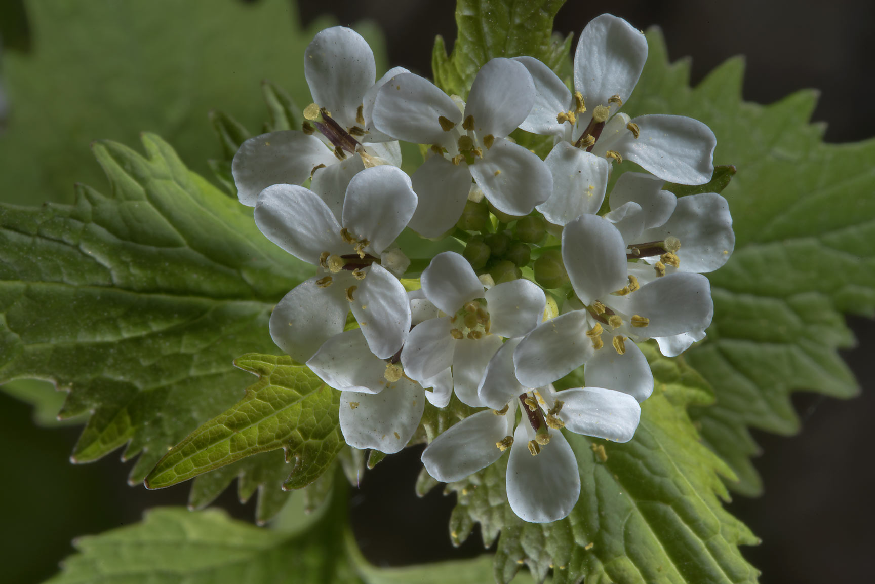 Garlic mustard (Alliaria petiolata) in Botanic...Institute. St.Petersburg, Russia