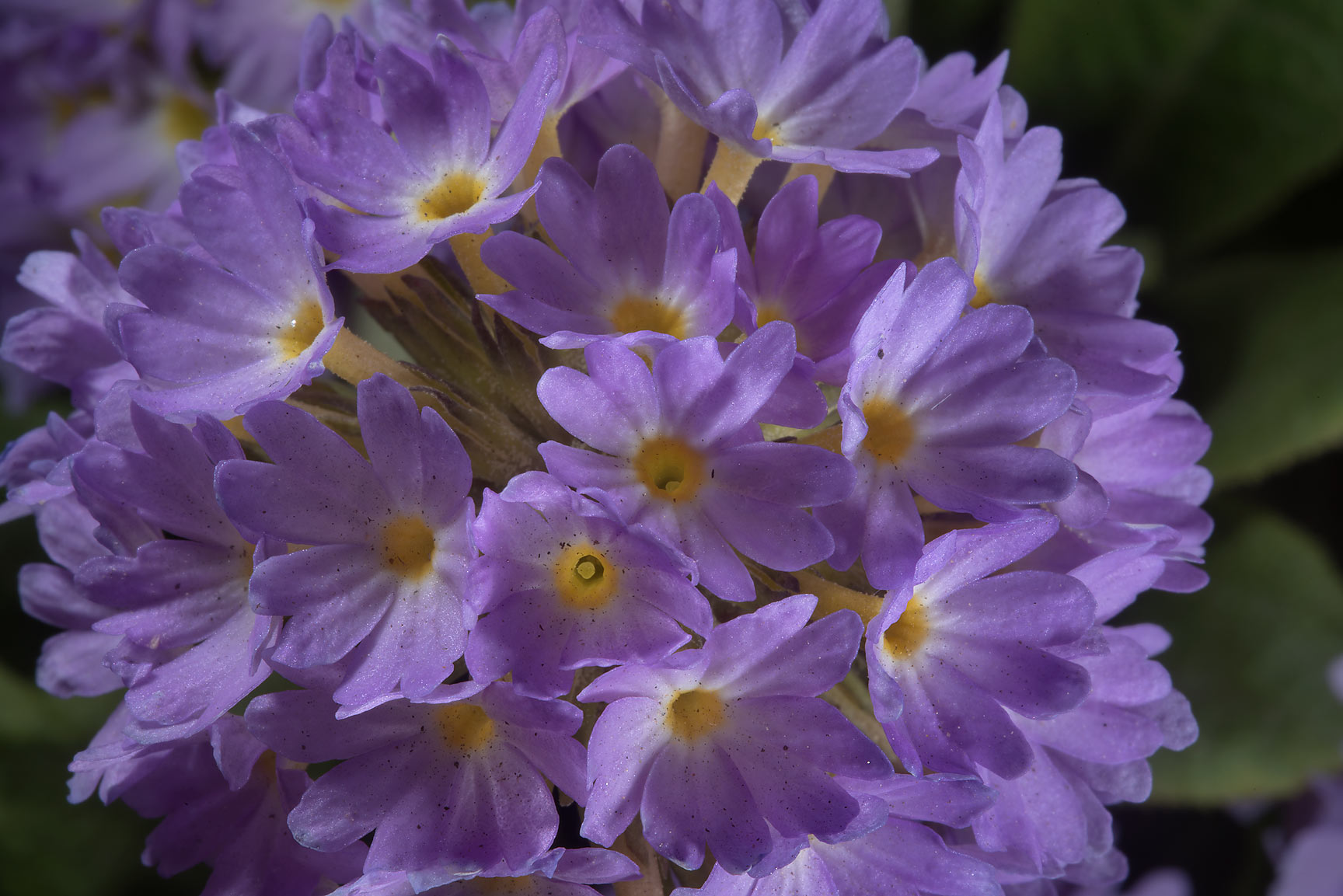 Bird's-eye primrose (Primula farinosa) in Botanic...Institute. St.Petersburg, Russia