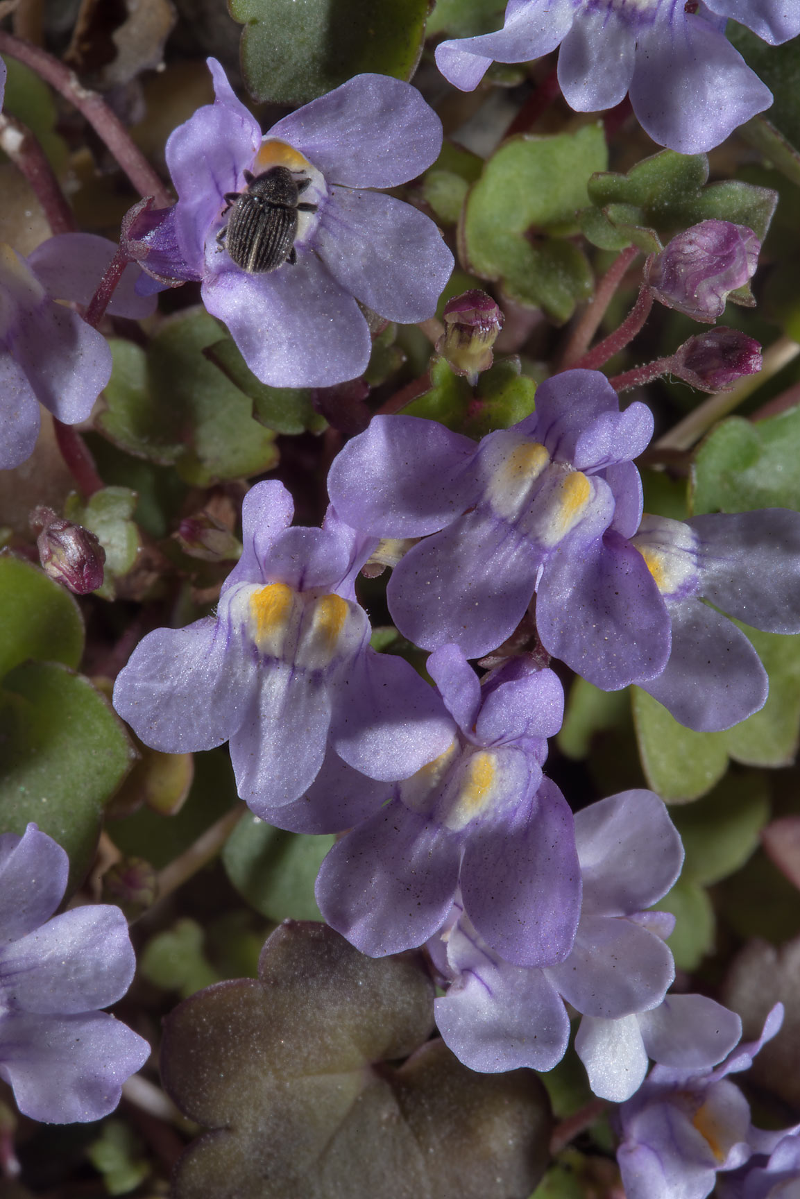 Ivy-Leaved Toadflax (Cymbalaria muralis) in...Institute. St.Petersburg, Russia