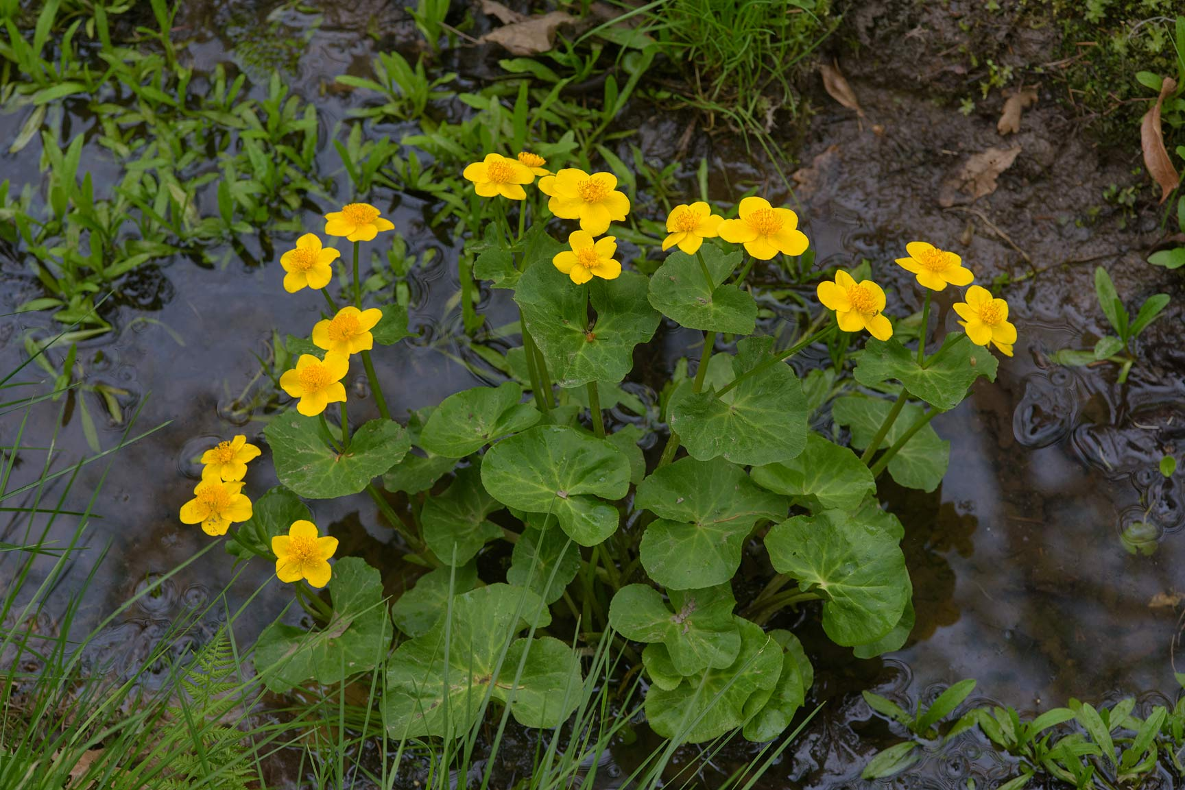 Marsh marigold (kingcup, Caltha palustris...a suburb of St.Petersburg, Russia
