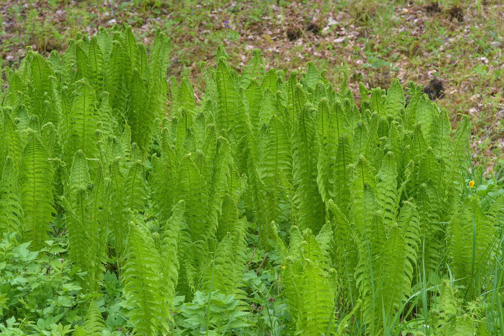 Young leaves of ostrich fern in Upper Garden...a suburb of St.Petersburg, Russia
