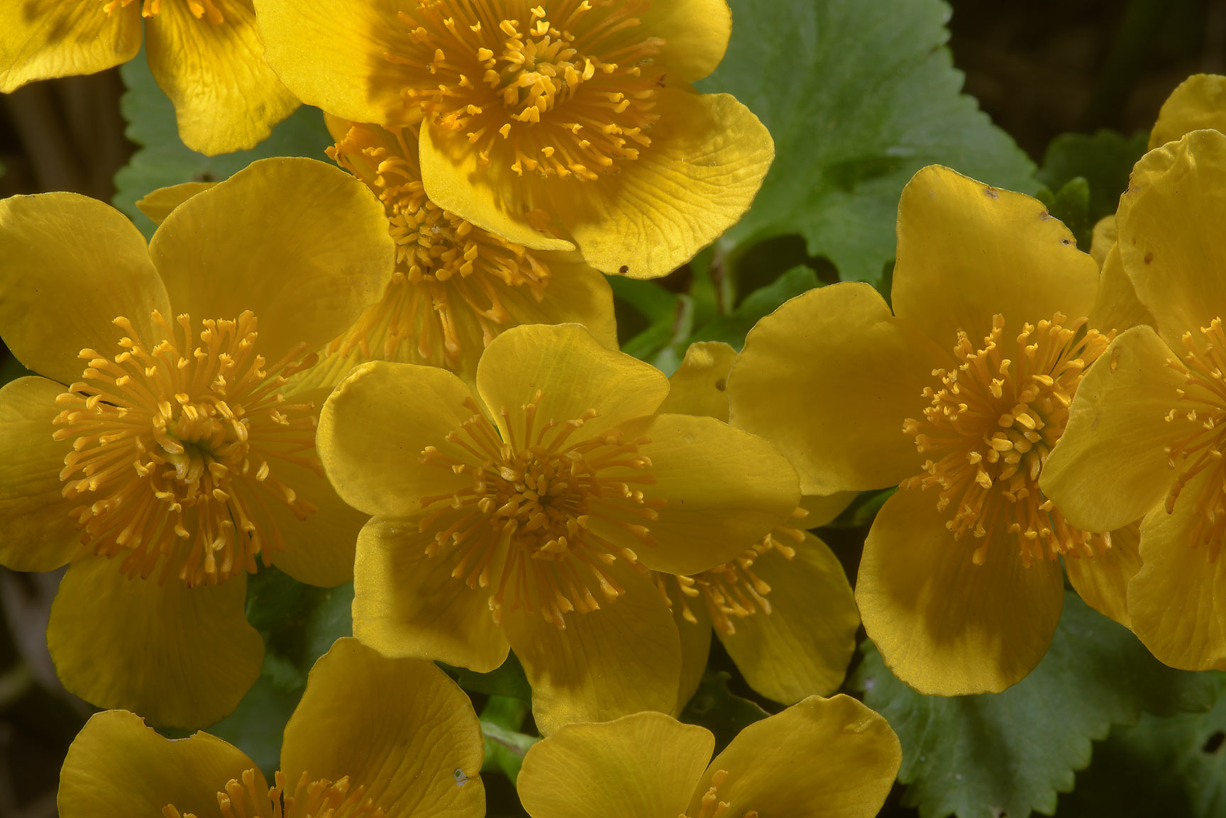 Yellow flowers of marsh marigold (kingcup, Caltha...a suburb of St.Petersburg, Russia