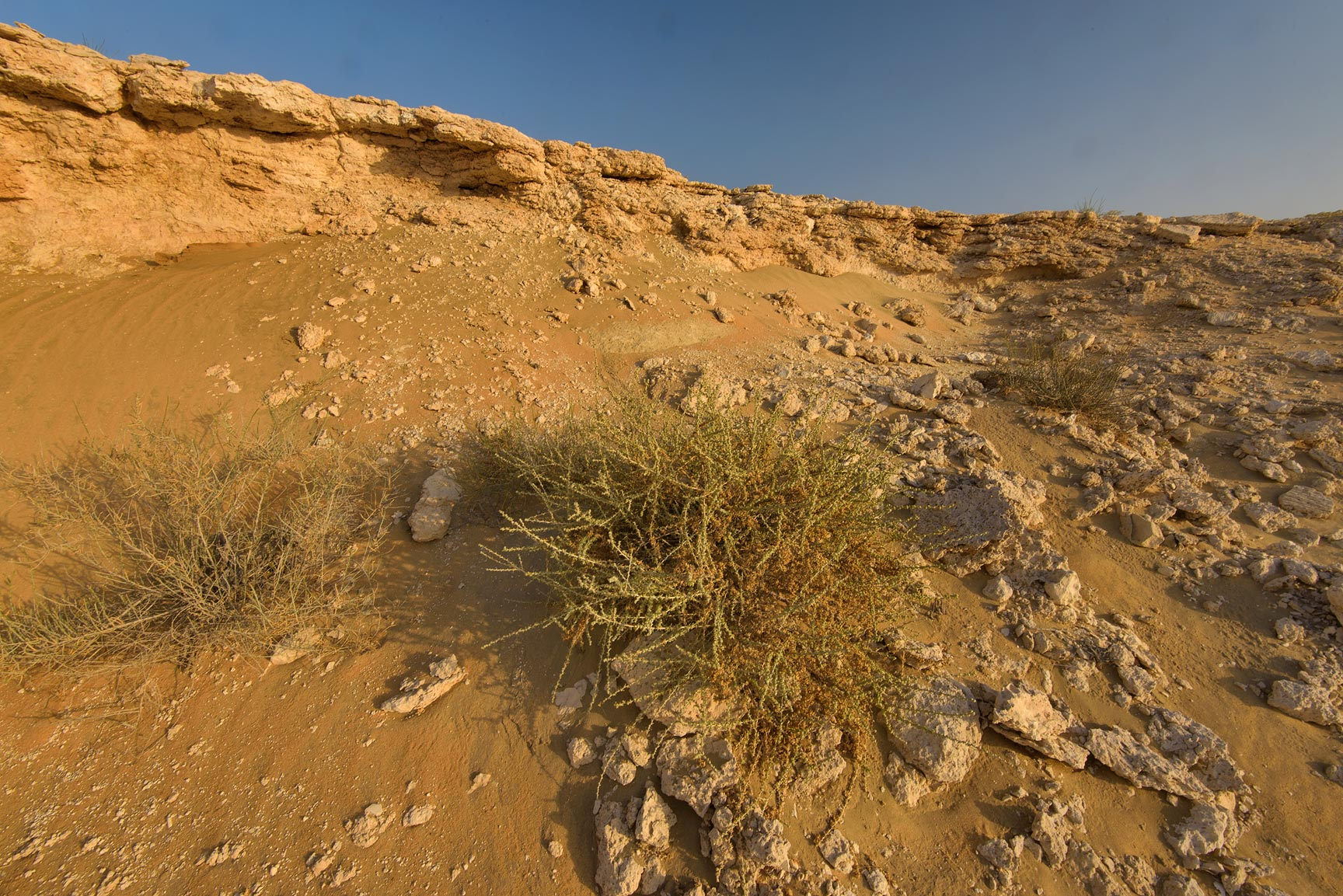 Traganum nudatum (local name dumran) on the slope...Reserve near Abu Samra. Southern Qatar