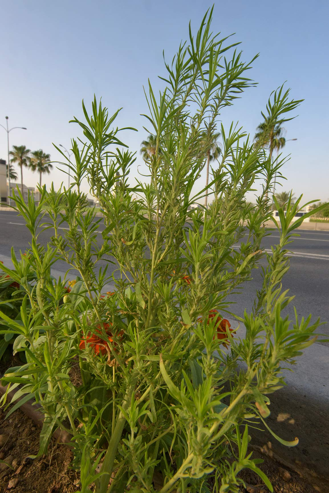 Summer cypress (Bassia scoparia) on Corniche. Doha, Qatar