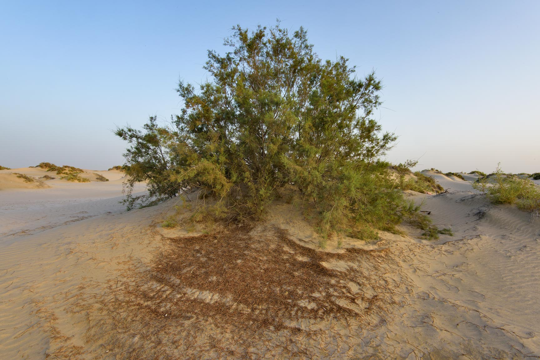 Tamarisk tree (Tamarix) in sand south from...Resort near Mesaieed. Southern Qatar