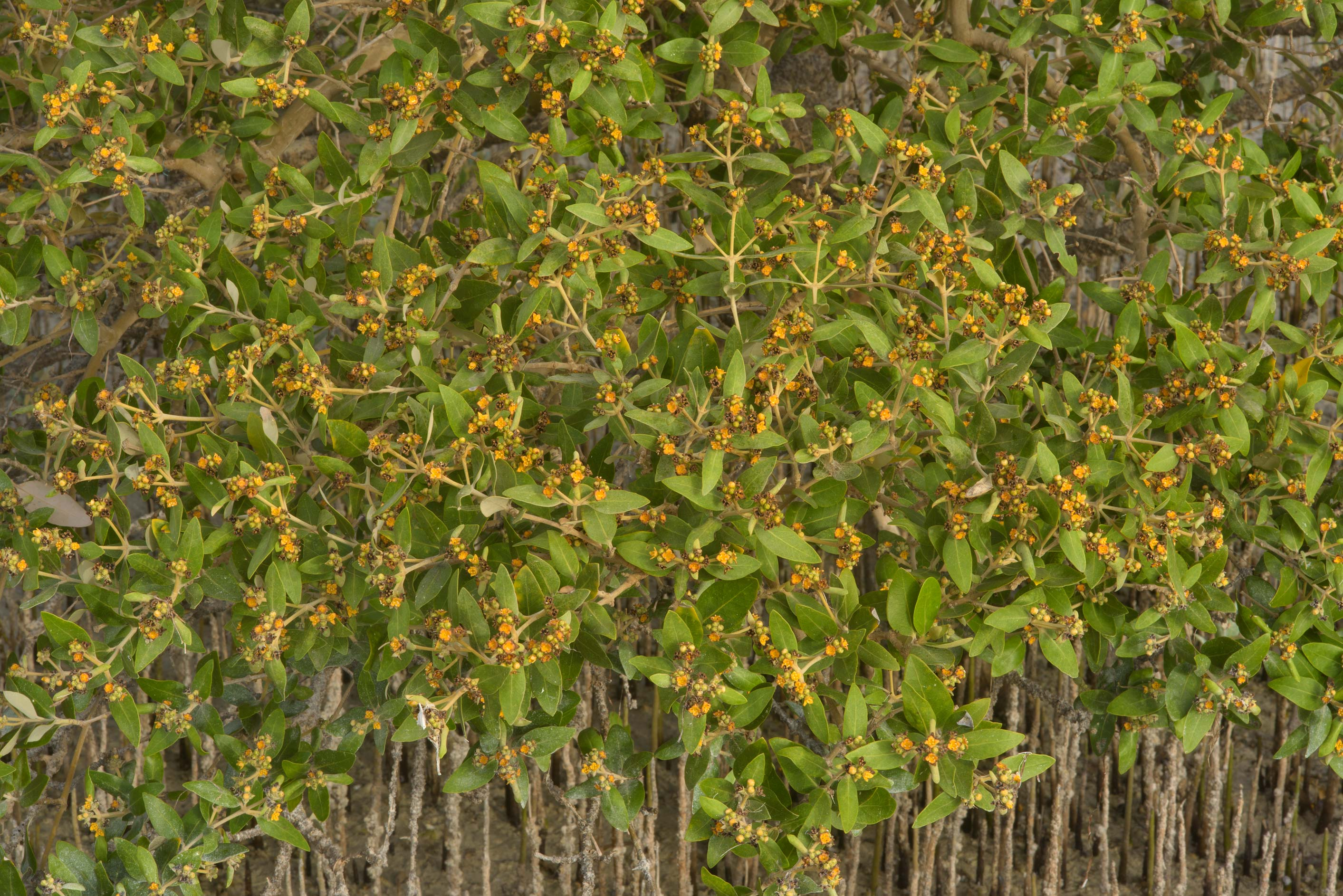Mangrove (Avicennia marina) with flowers on...Jazirat Bin Ghanim). Al Khor, Qatar