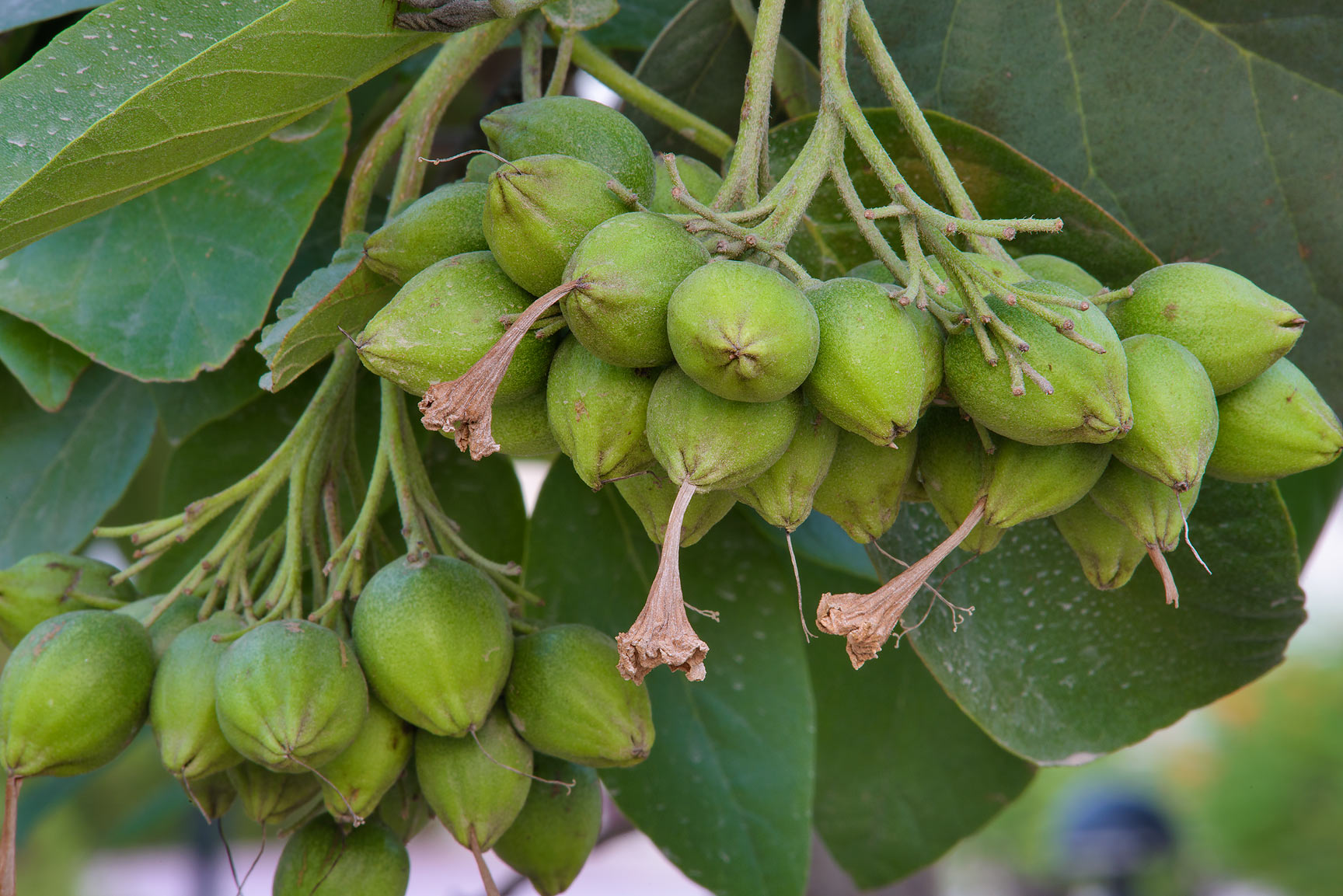 Fruits of siricote tree (Cordia sebestena) in a...St. in Onaiza area. Doha, Qatar
