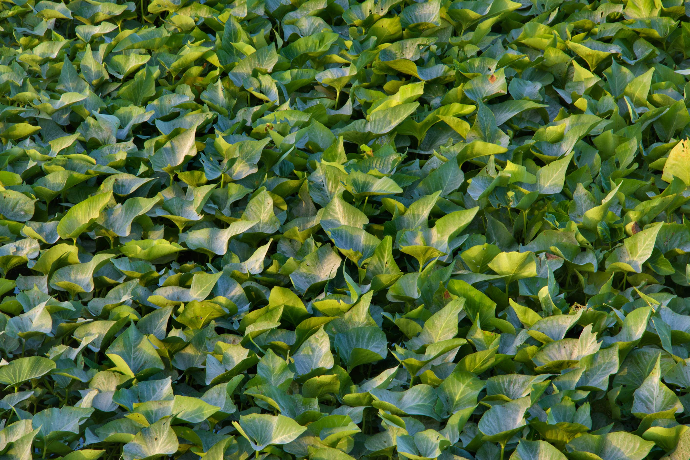 Leaves of water morning glory (water spinach...near Irkhaya (Irkaya) Farms. Qatar