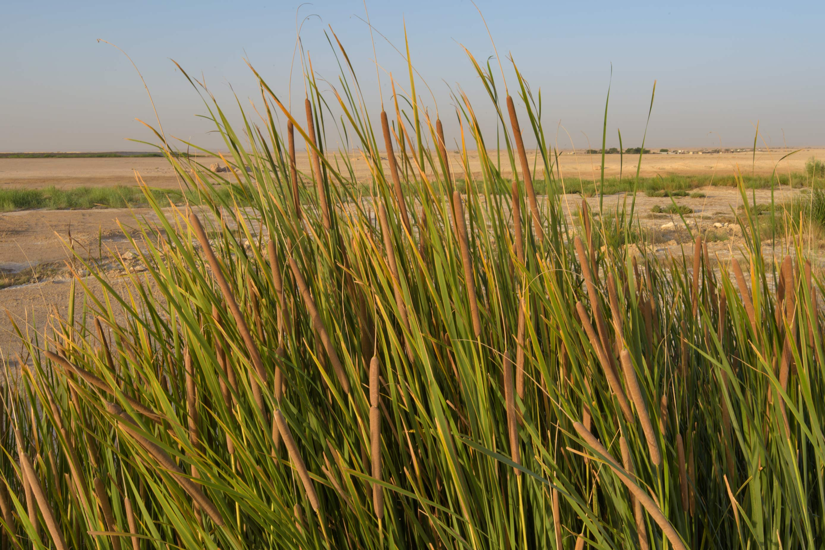 Flowering spikes of Southern cattail (Typha...near Irkhaya (Irkaya) Farms. Qatar