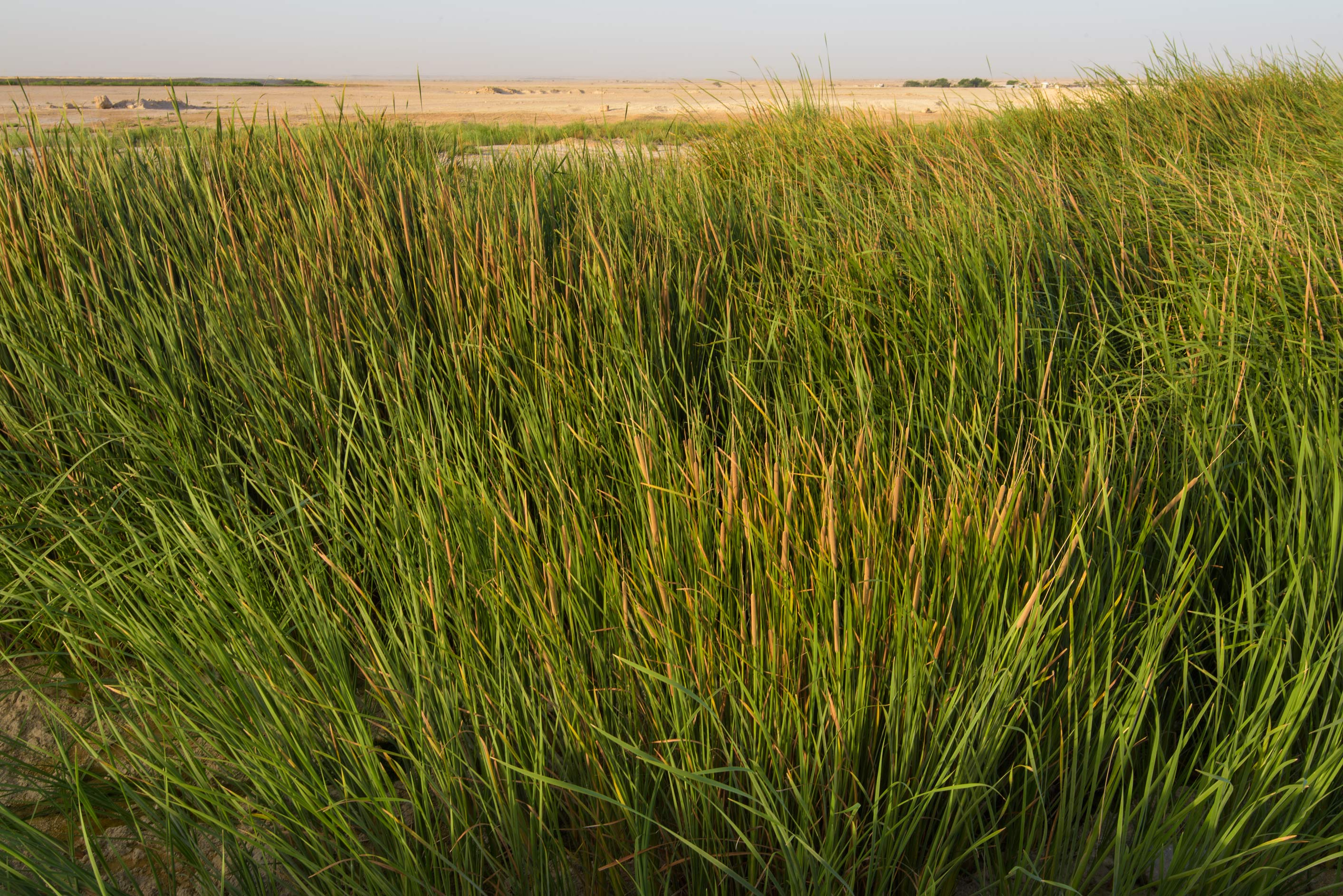 Masses of Southern cattail (Typha domingensis) in...near Irkhaya (Irkaya) Farms. Qatar