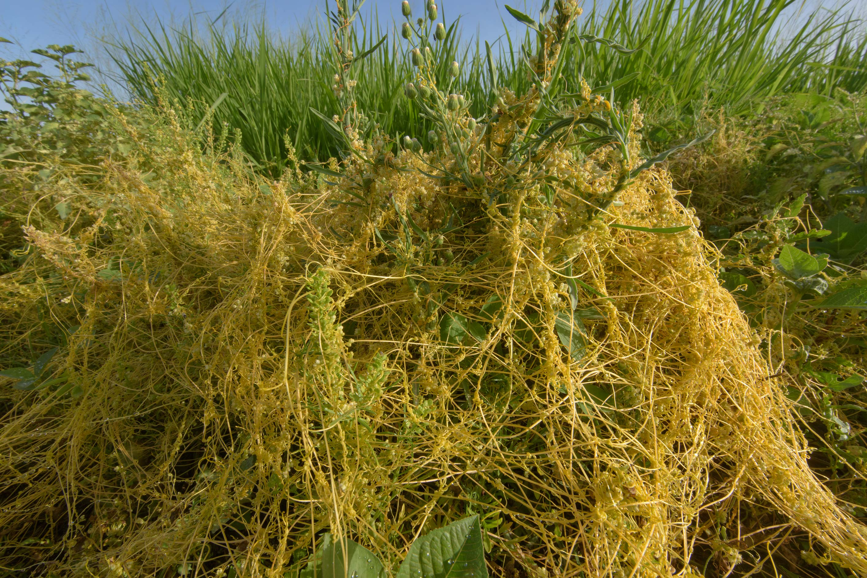 Shoots of golden dodder (Cuscuta campestris) on...in Irkhaya (Irkaya) Farms. Qatar
