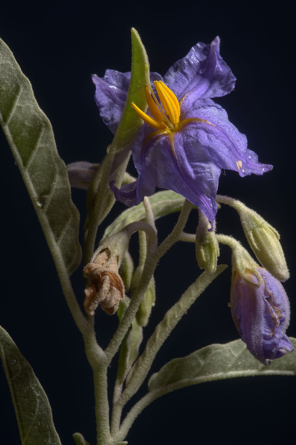 Blooming silverleaf nightshade (Solanum...in Irkhaya (Irkaya) Farms. Qatar
