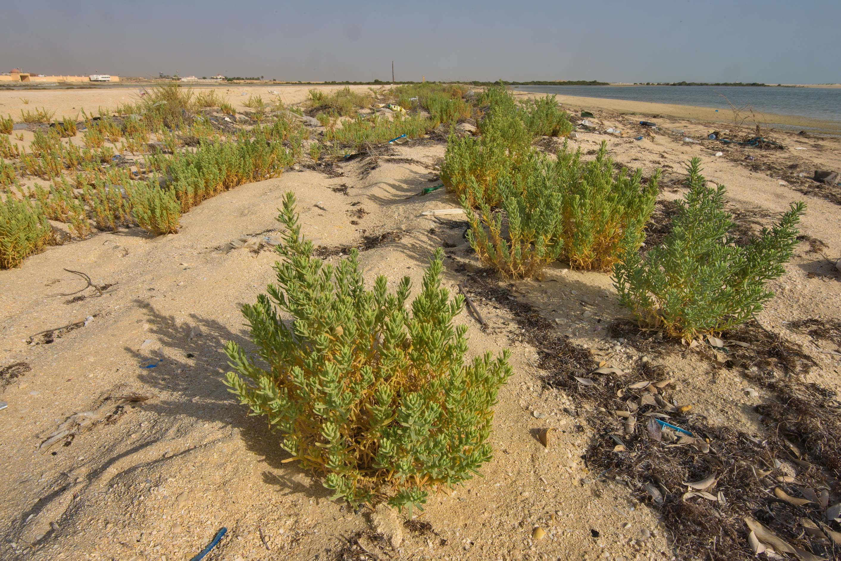 Plants of Bienertia sinuspersici on a beach near Fuwairit. Qatar