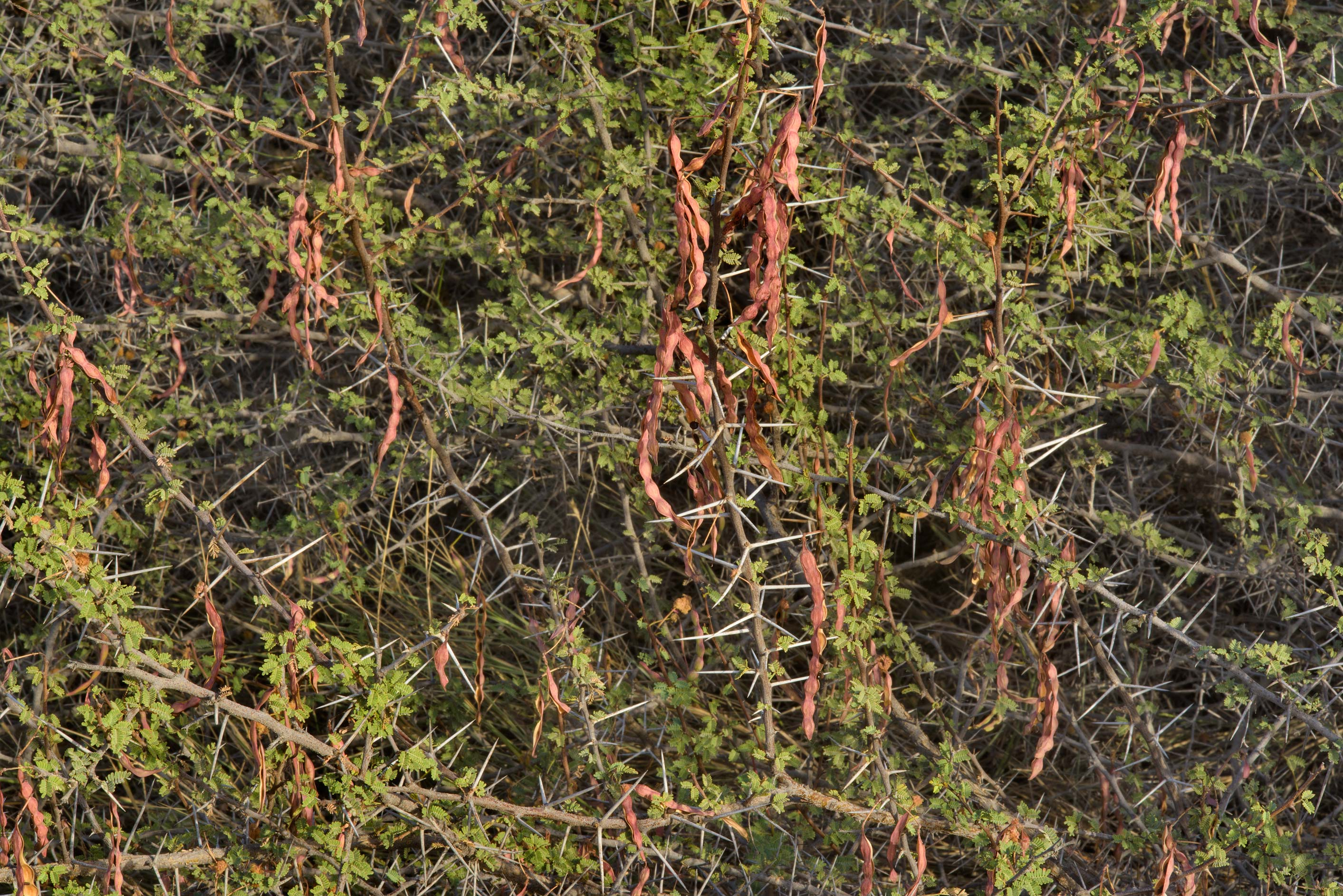 Thorn acacia (Acacia ehrenbergiana) with dry...Khashm an Nakhsh). South-western Qatar