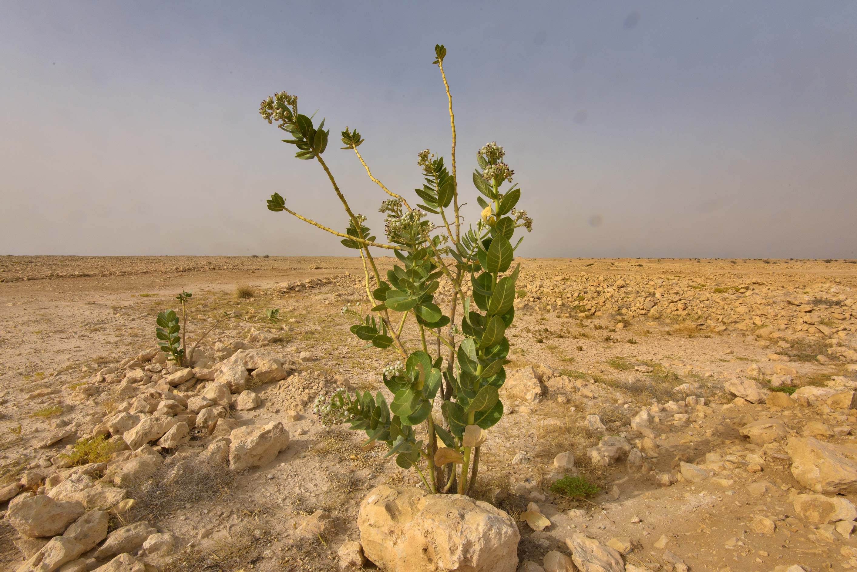 Small plant of Sodom Apple (Calotropis procera...western coast, Ash Shamal area. Qatar