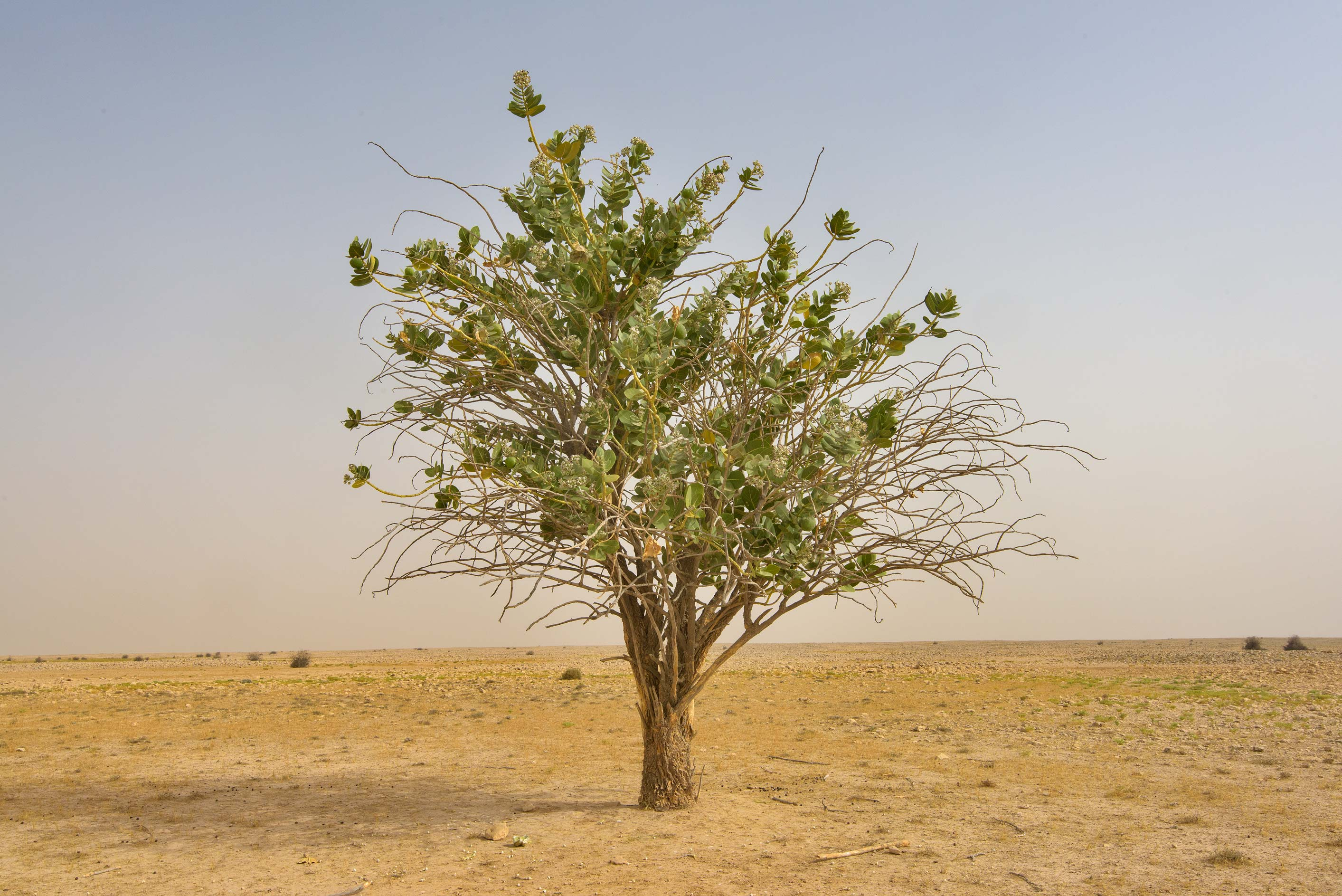 A tree of Sodom Apple (Calotropis procera, local...western coast, Ash Shamal area. Qatar