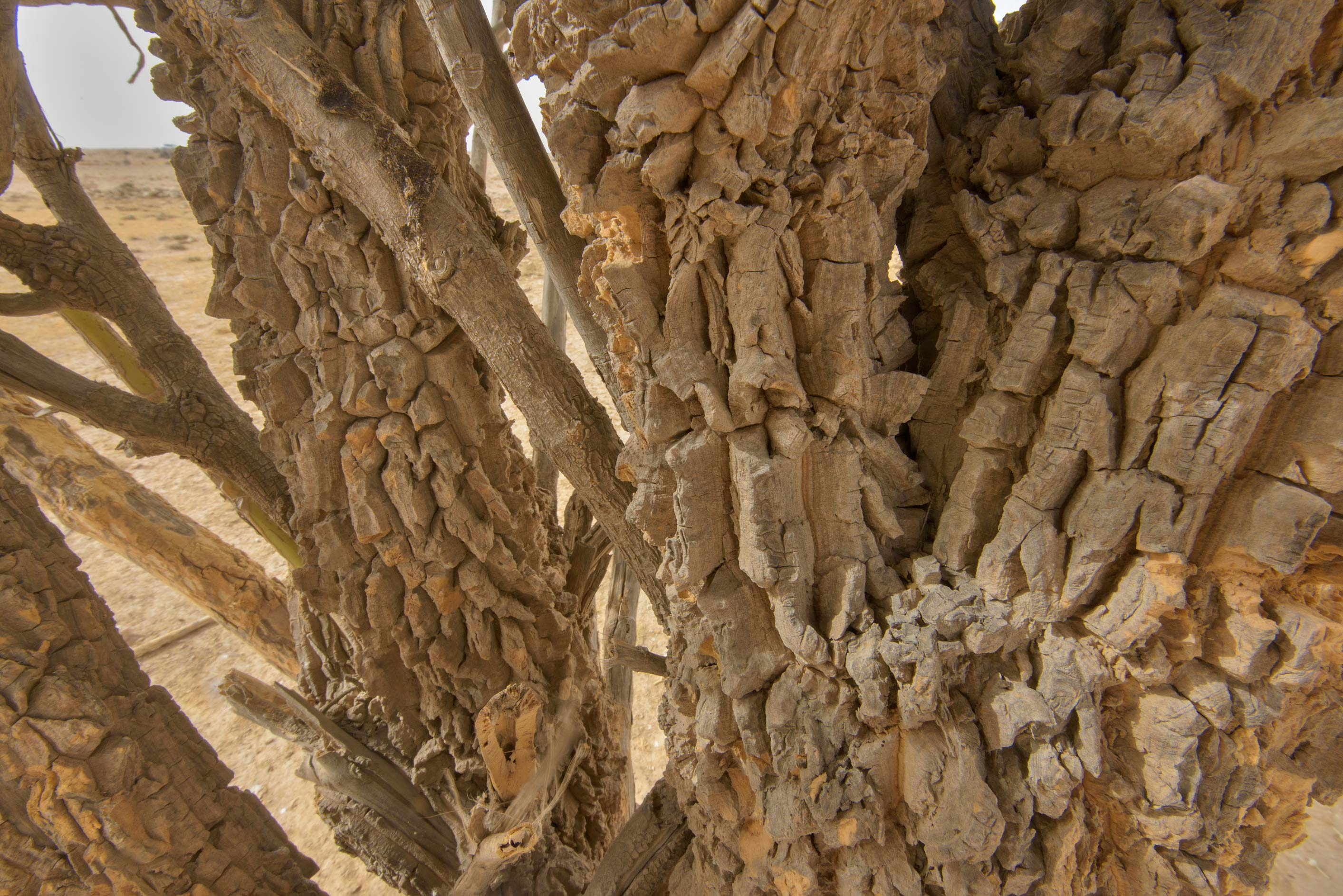 Corky bark of a tree of Sodom Apple (Calotropis...western coast, Ash Shamal area. Qatar