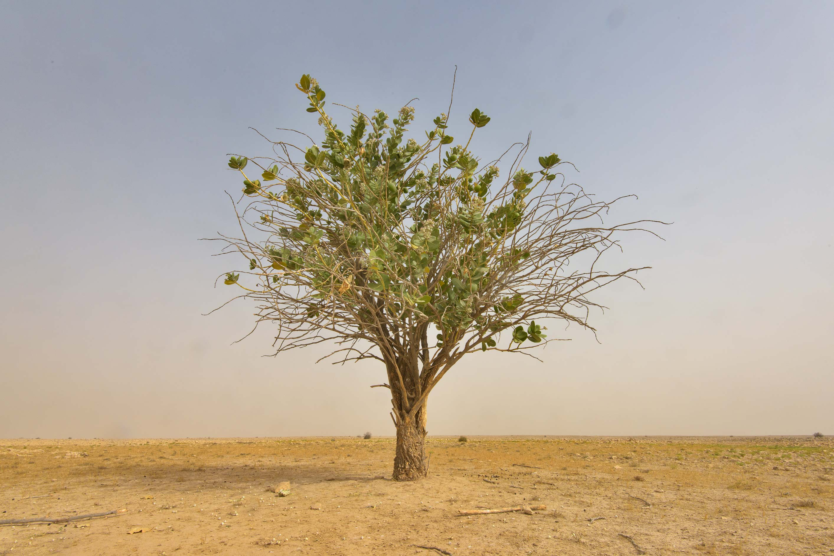 Solitary tree of Sodom Apple (Calotropis procera...western coast, Ash Shamal area. Qatar