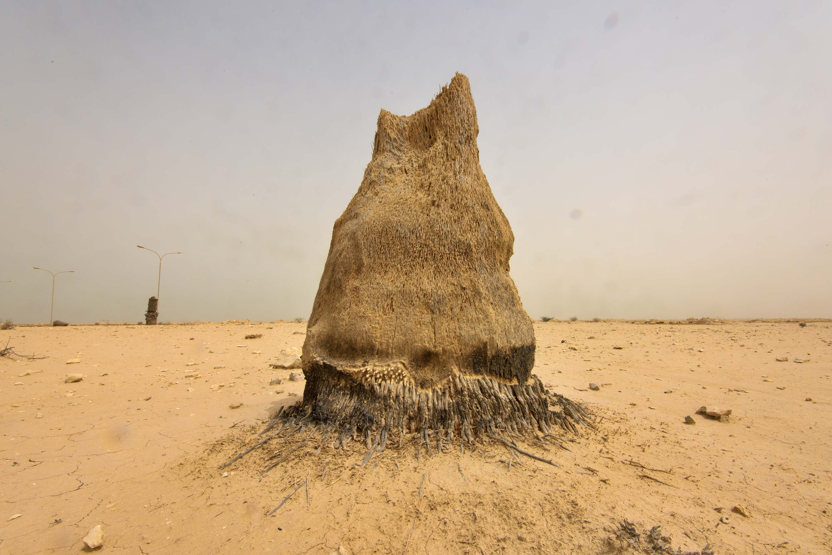 Dry trunk of a palm tree on old roundabout at the...western coast, Ash Shamal area. Qatar