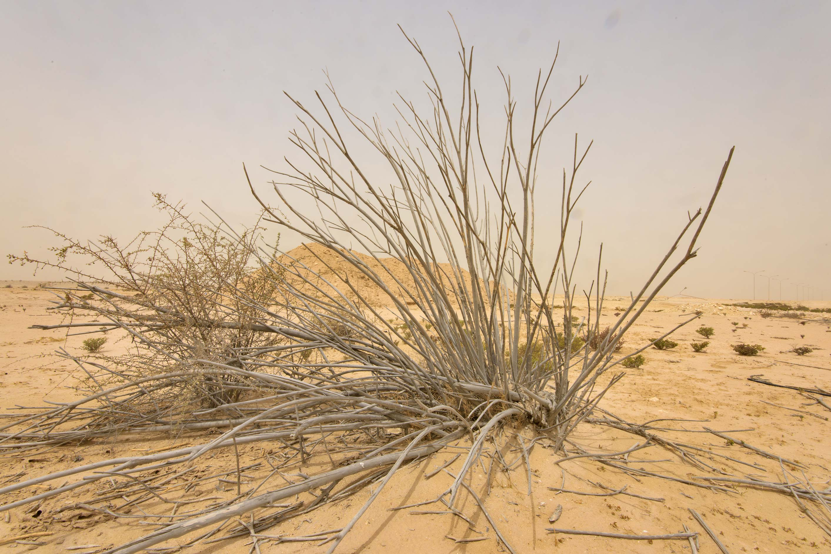 Dry bush of Nerium oleander on old roundabout...western coast, Ash Shamal area. Qatar