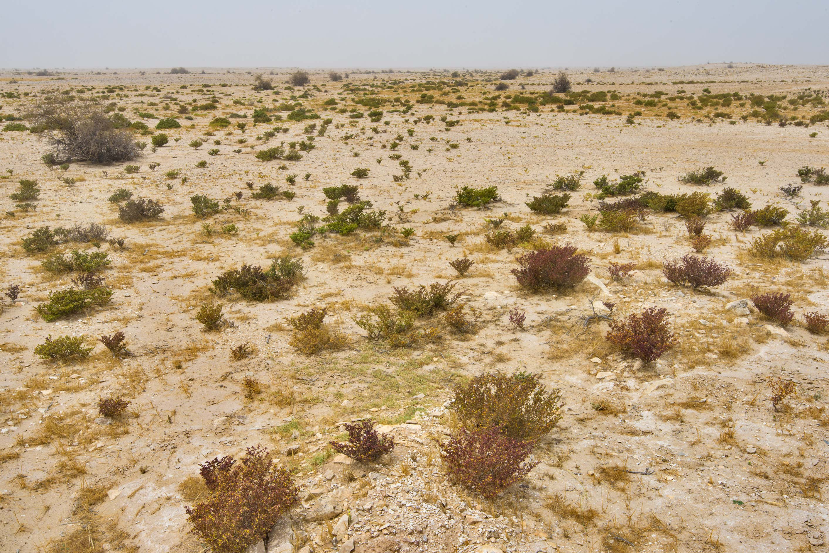 Salt tolerant plants in desert near a road to Al...western coast, Ash Shamal area. Qatar