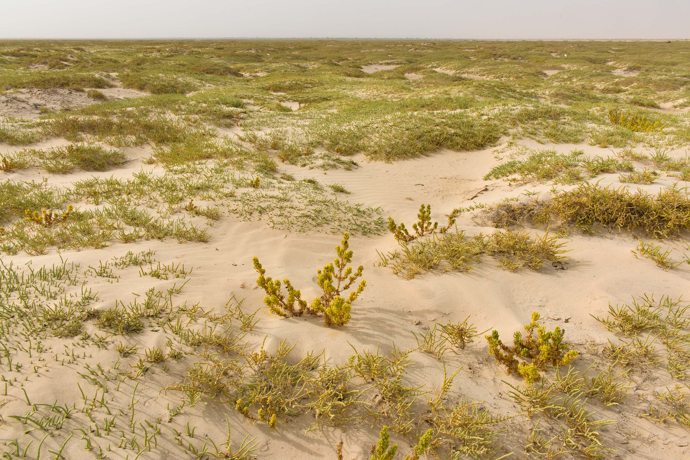 Greenery of salt marsh in Luwaima and Ras Al Qawar north from Al Thakhira. Qatar