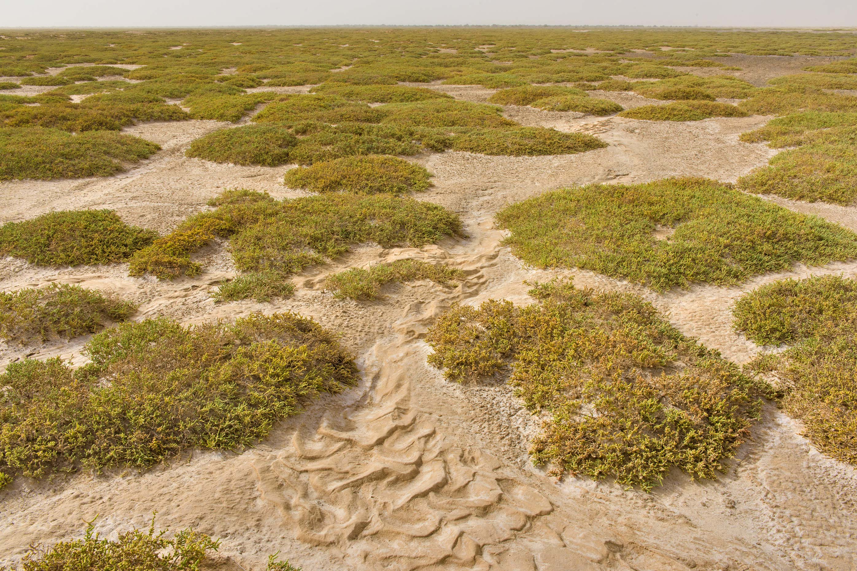 Mounds of jointed glasswort (Halocnemum...Al Qawar north from Al Thakhira. Qatar