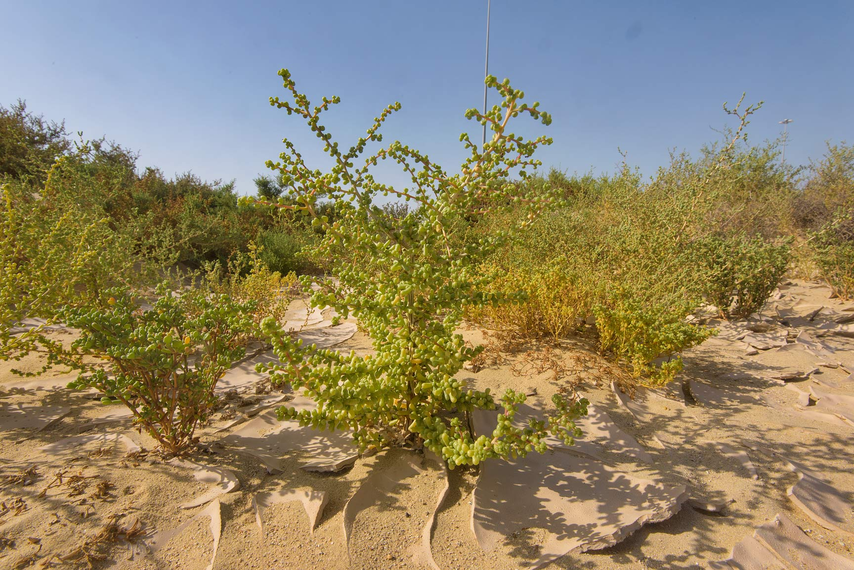 Plant of Salsola drummondii on roadside of Dukhan Highway west from Khawzan. Qatar