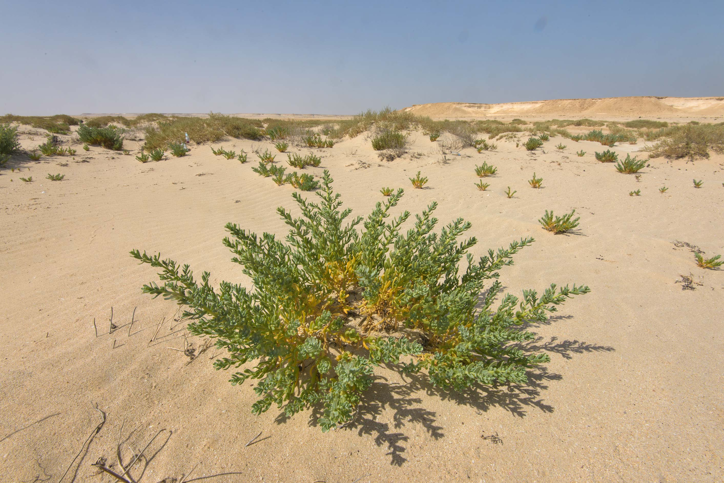 Plant of Bienertia sinuspersici on a beach in...Zekreet in Ras Abrouq Peninsula. Qatar