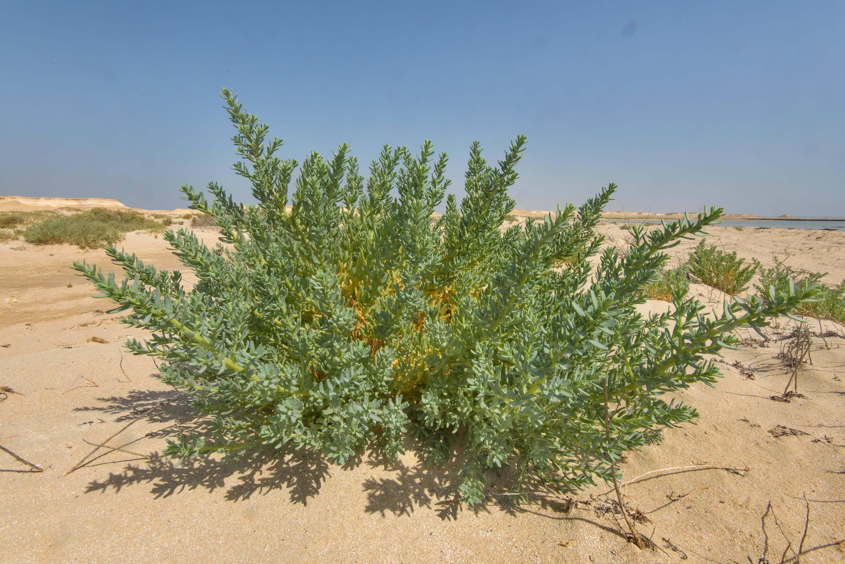 Large plant of Bienertia sinuspersici on a beach...Zekreet in Ras Abrouq Peninsula. Qatar