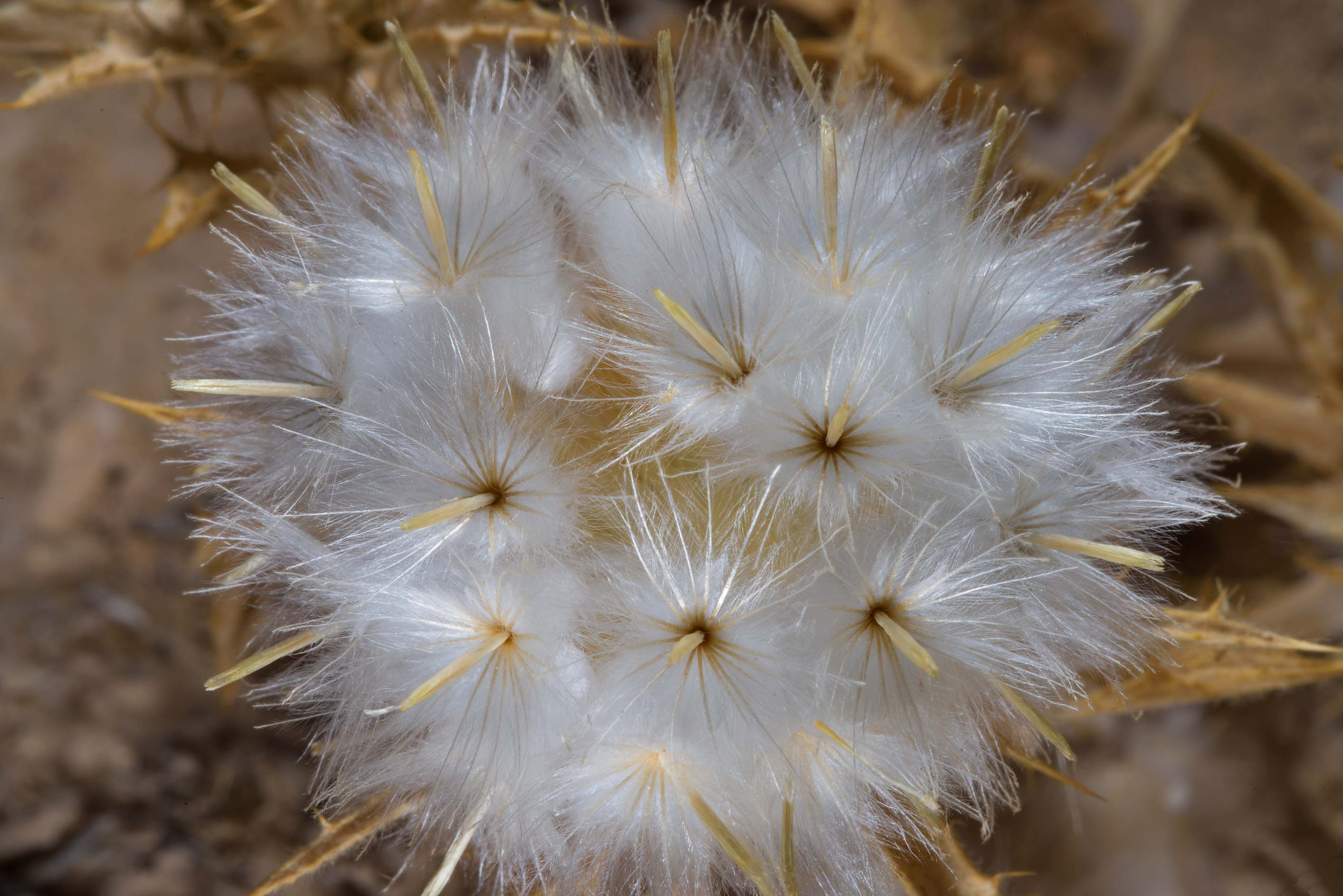Fluffy seeds of distaff-thistle (Atractylis...Zekreet in Ras Abrouq Peninsula. Qatar