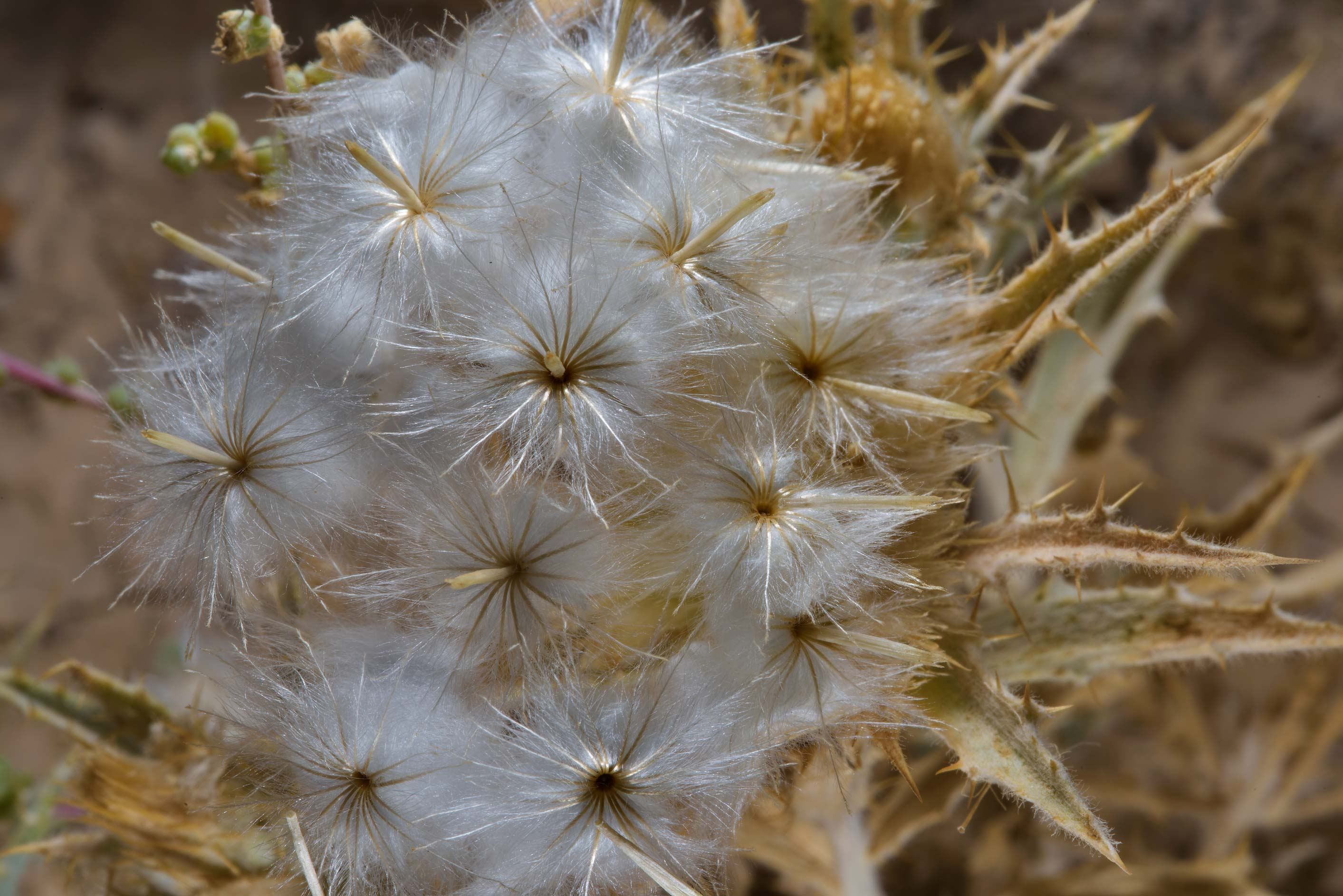 Fluffy seed head of distaff-thistle (Atractylis...Zekreet in Ras Abrouq Peninsula. Qatar