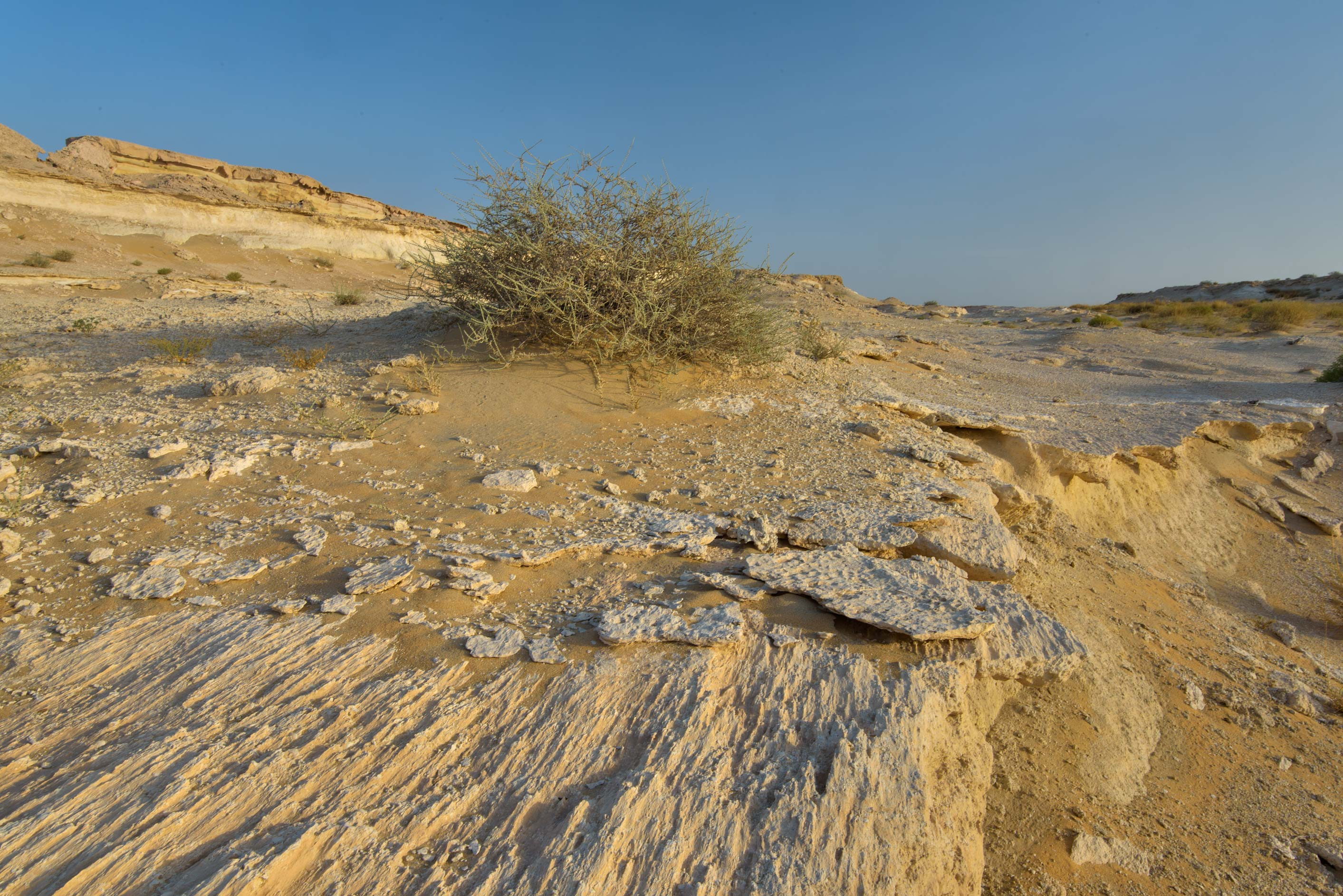 Bush of Salsola cyclophylla on limestone rocks in...Reserve near Abu Samra. Southern Qatar
