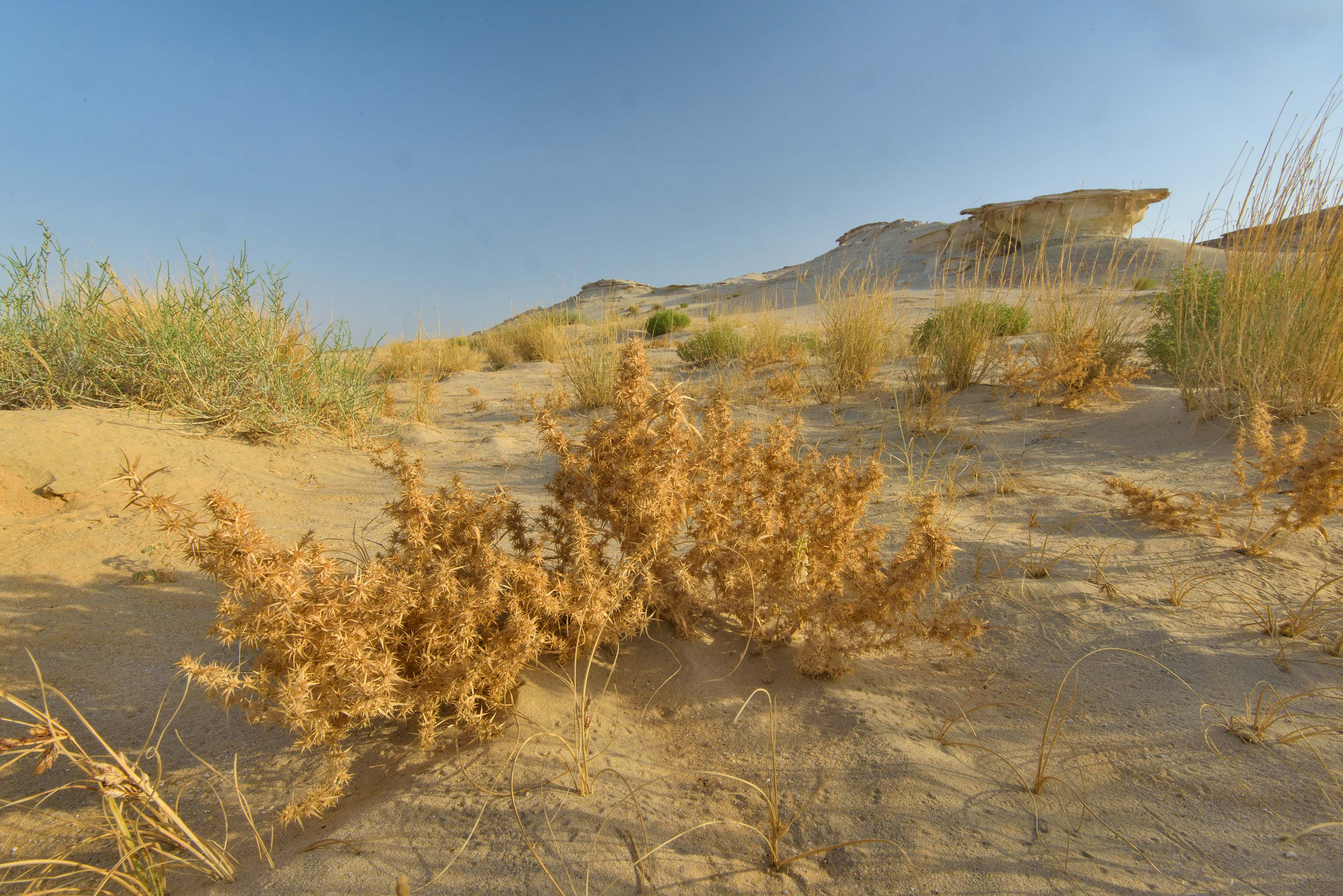 Dry plant of Agriophyllum minus in sandy area in...Reserve near Abu Samra. Southern Qatar