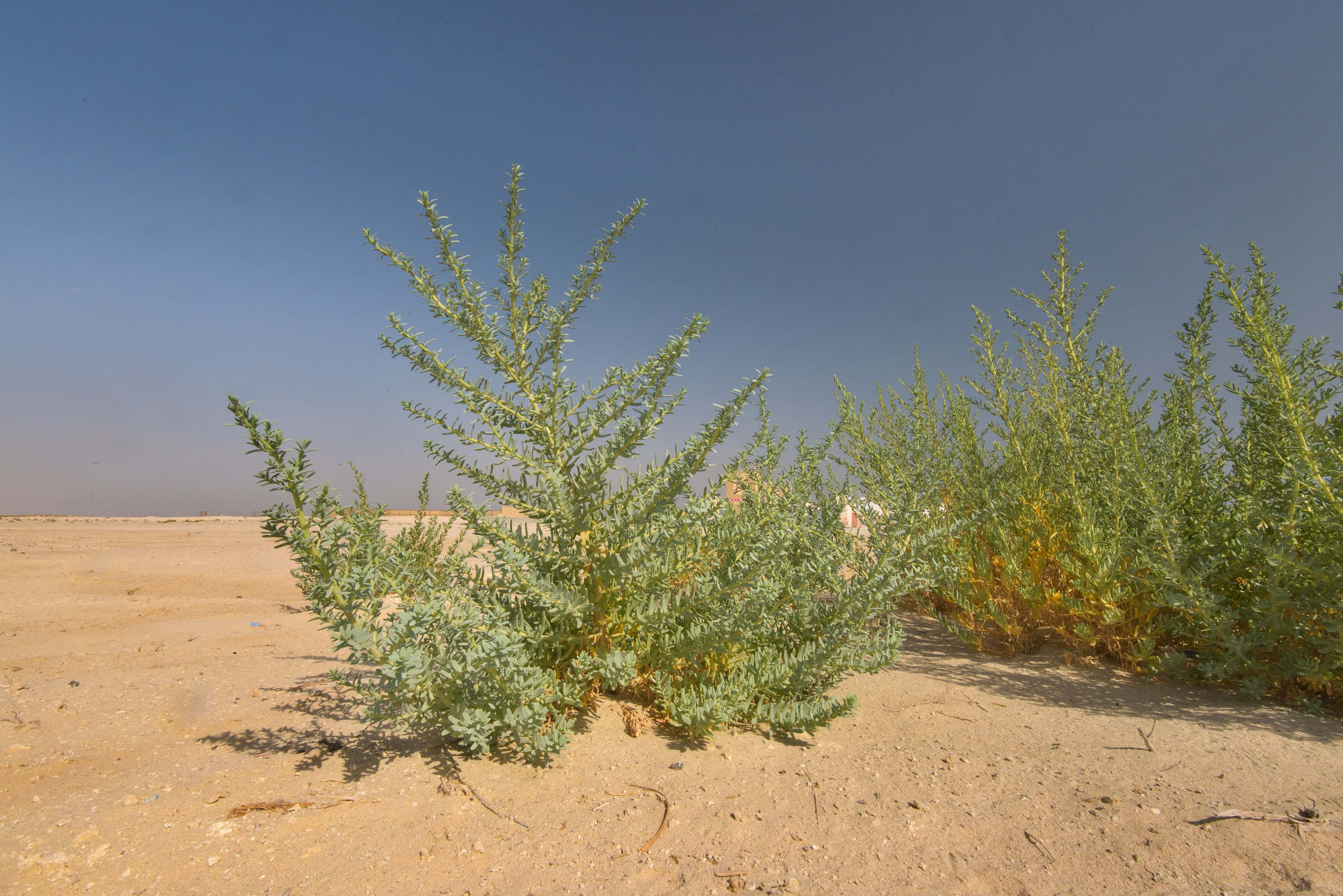 Large plants of Bienertia sinuspersici at the...Reserve near Abu Samra. Southern Qatar