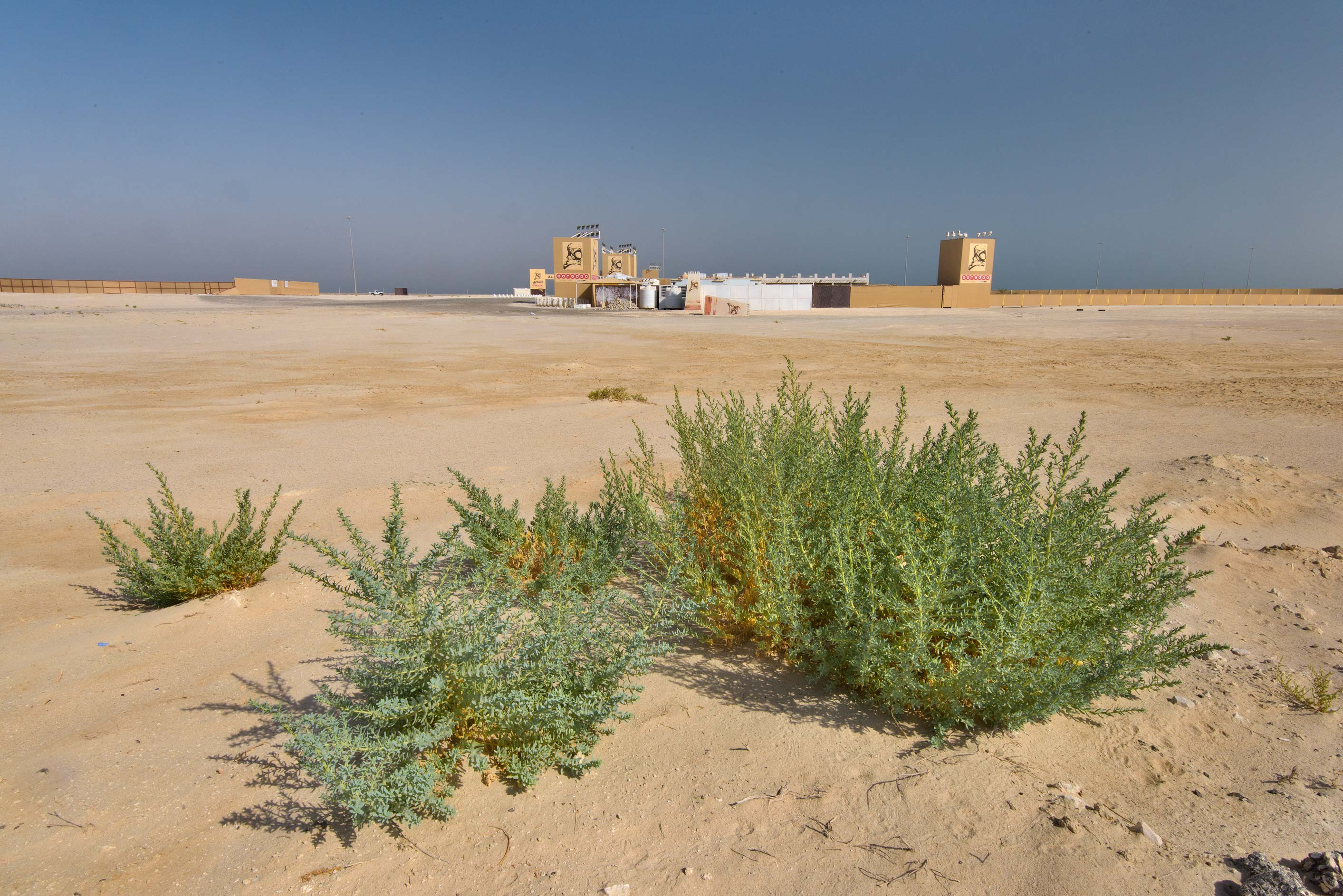 Plants of Bienertia sinuspersici at the entrance...Reserve near Abu Samra. Southern Qatar