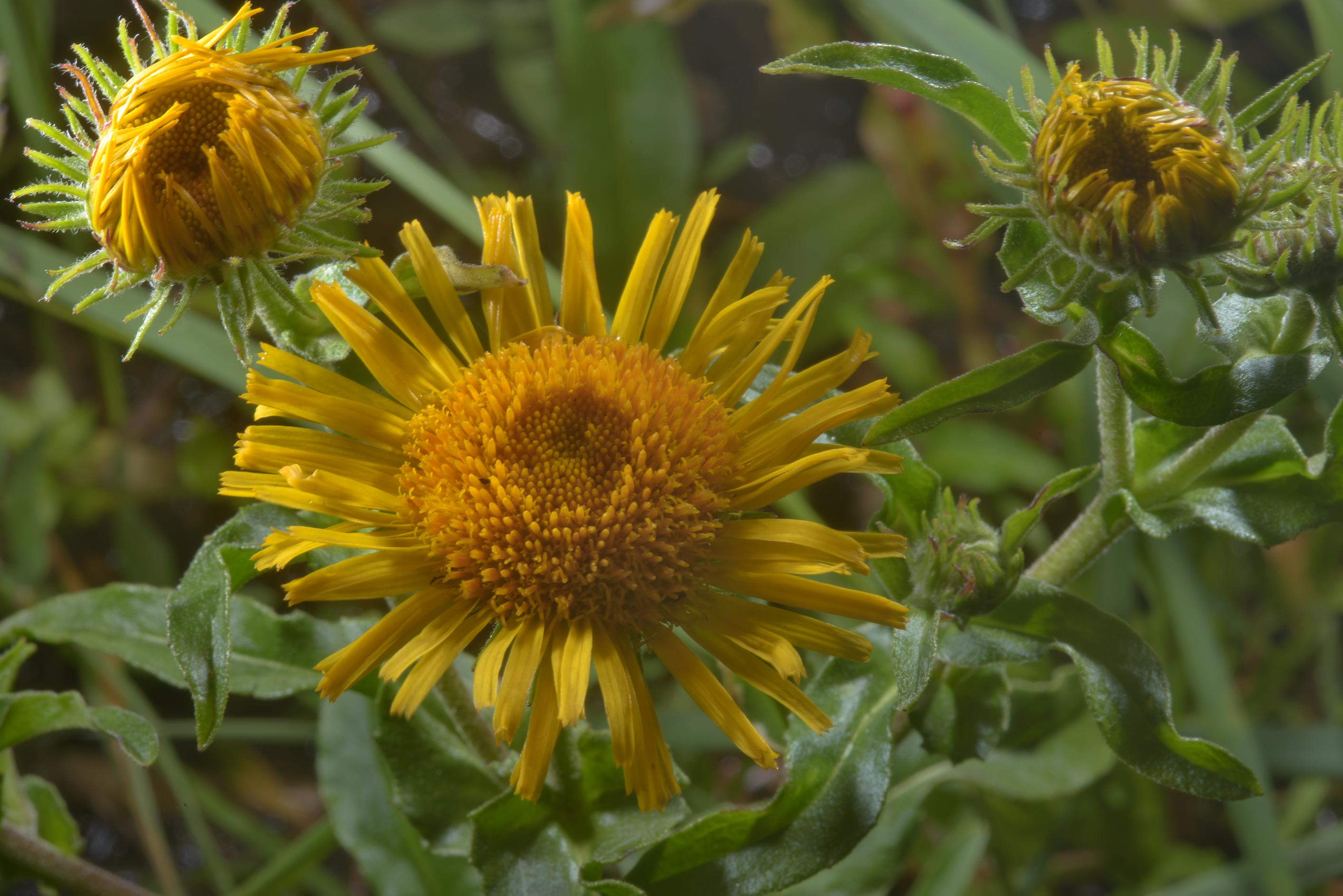 Flowers of meadow fleabane (Inula britannica...north-west from St.Petersburg. Russia